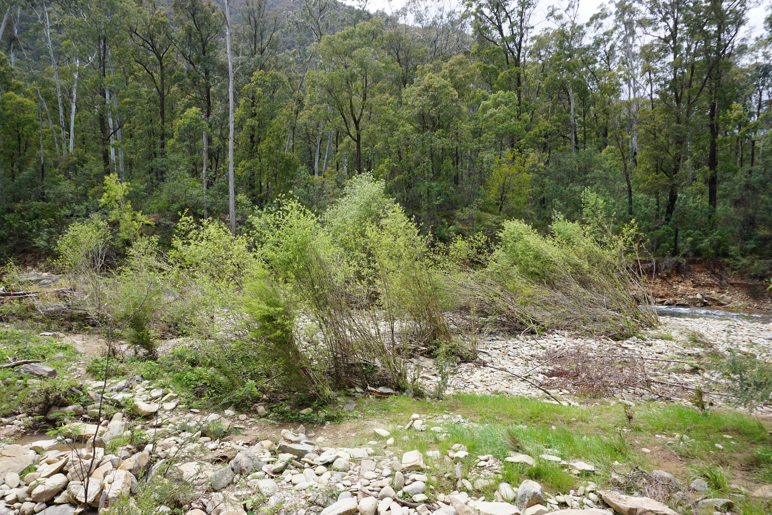 Grey sallow willows ( S. cinerea ) along the Buckland River, somewhat askew from a recent flood.  Image: Emily De Stigter
