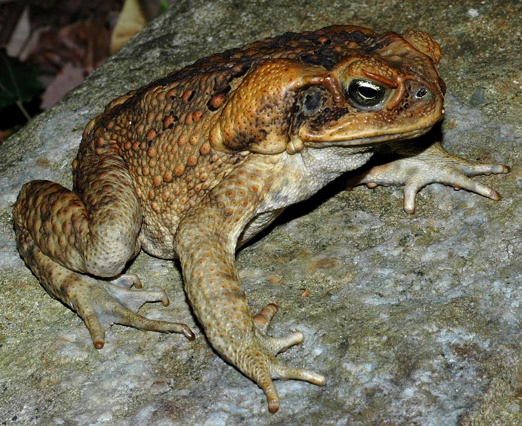 Cane toads ( Bufo marinas ) are another example of a species intentionally introduced to Australia by humans.  Image: Wikimedia Commons