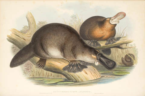 Ornithorhynchus anatinus , the duck-like bird snout.  Image: NMA
