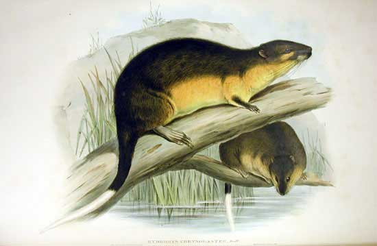 Hydromys chrysogaster, the yellow-bellied water mouse. Image: Museum Victoria