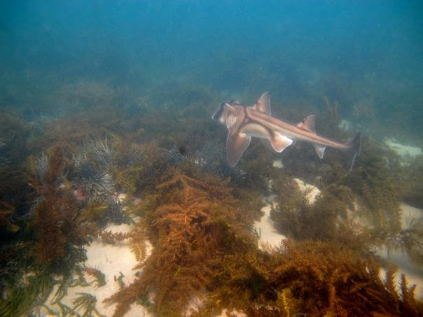 If you're lucky, you may spot a Port Jackson shark at this serene snorkel spot.  Image: Cathy Cavallo