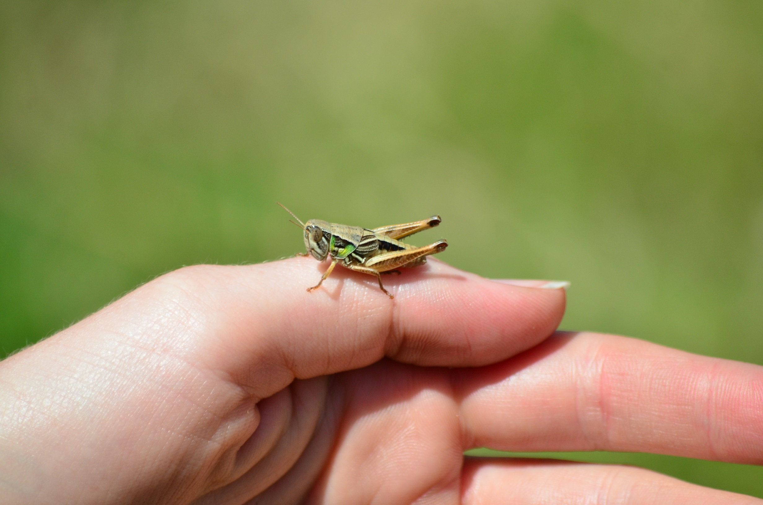 Insect species, such as grasshoppers, are one of the most difficult aspects of nature to take notice of, usually due to their size.  Image: Sarah Bond
