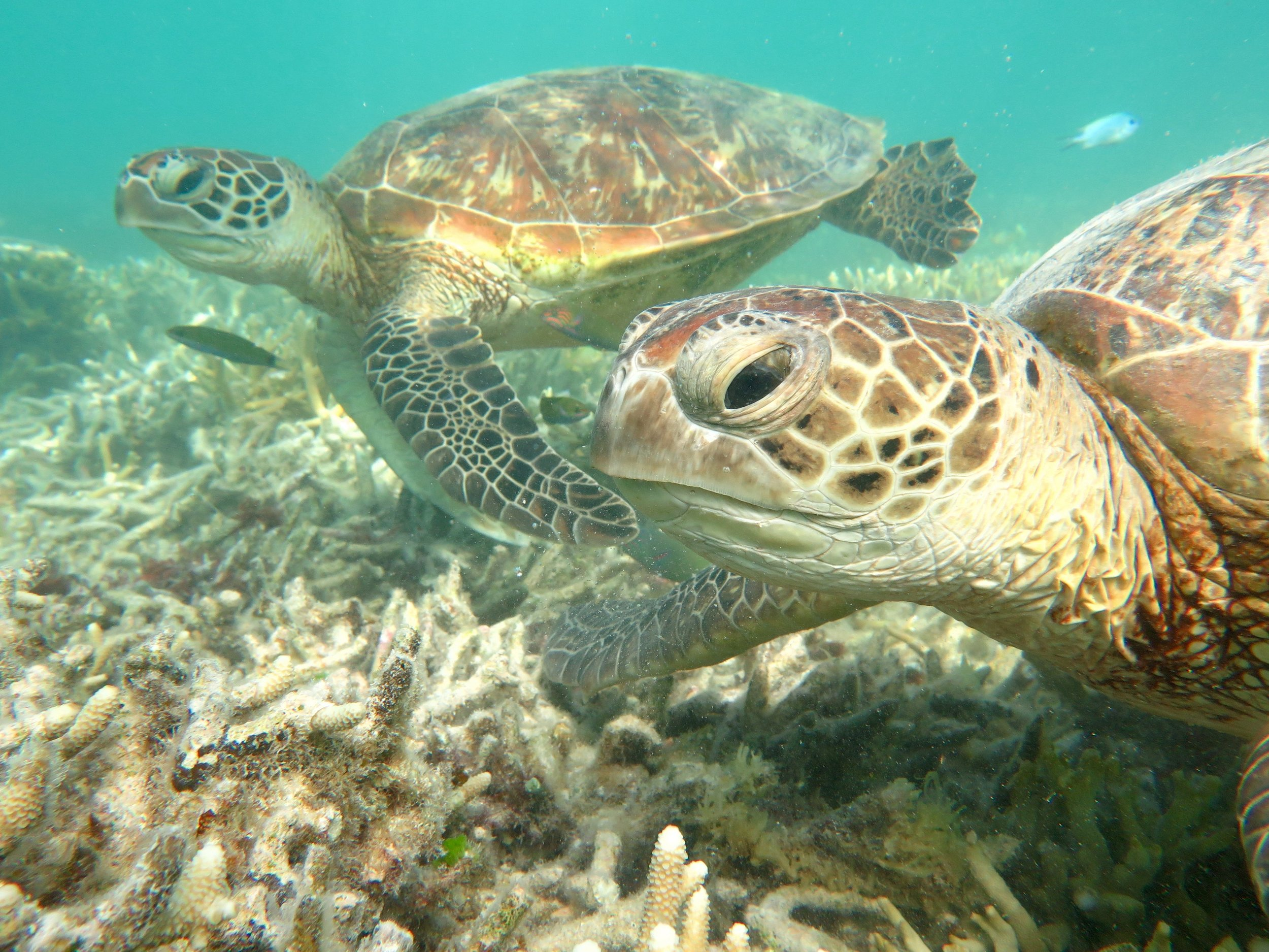 The green sea turtle is one marine species that fills their stomach with plastic bags resembling jellyfish.  Image: Cathy Cavallo