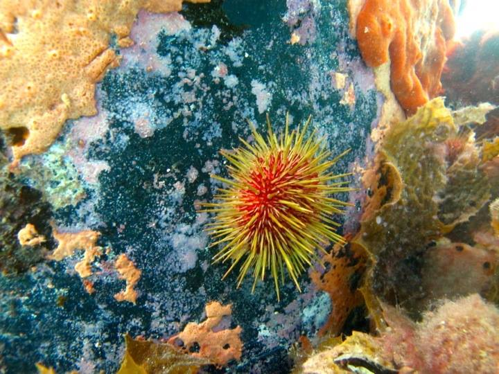 A vividly coloured sea urchin. Image: Cathy Cavallo