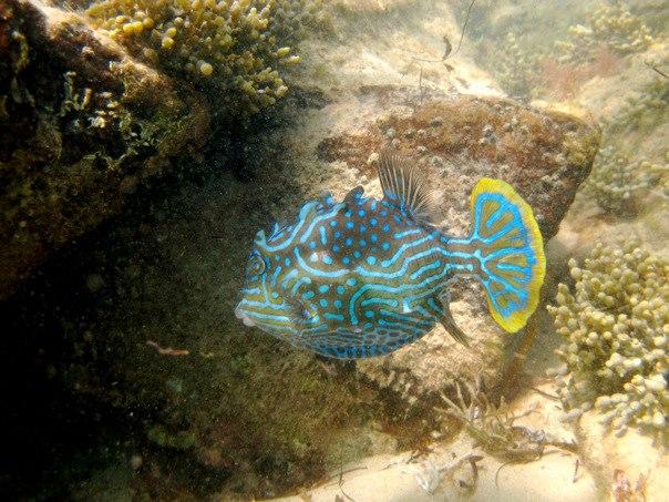 Shaw's Cowfish. Image: Cathy Cavallo