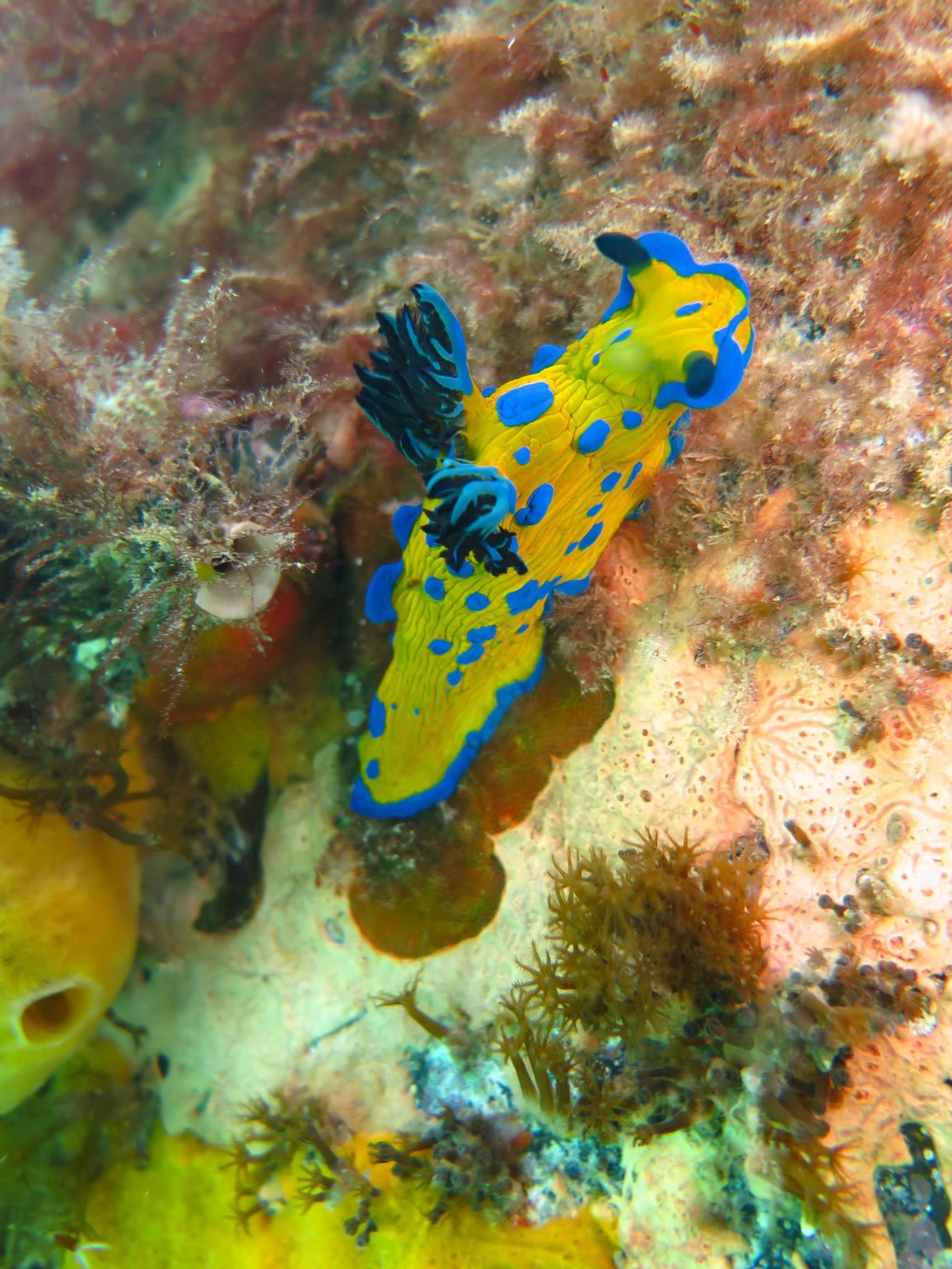 Verco's nudibranch. Image: Cathy Cavallo