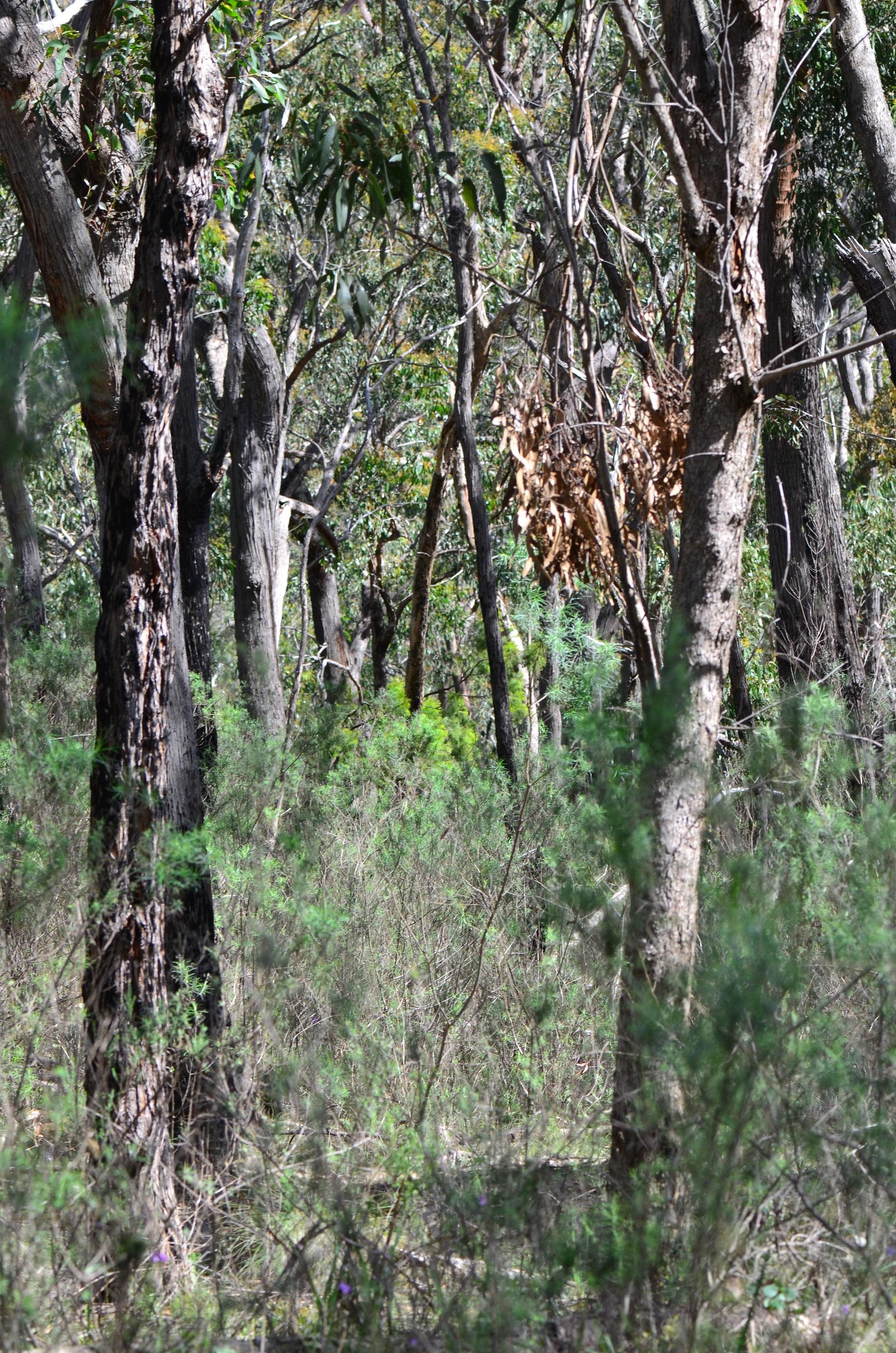 Dense dry forest at Fourth Hill, Warrandyte. Image: Sarah Bond