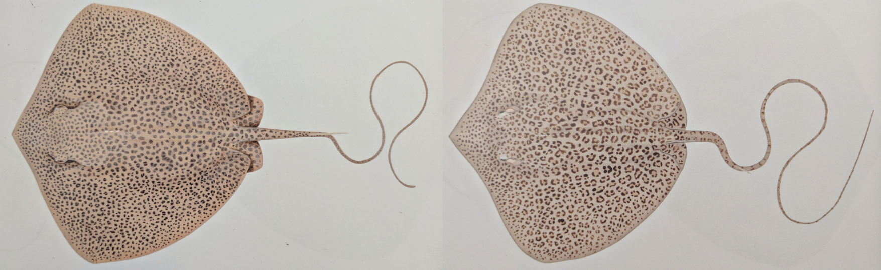 """Note the subtle differences in form, pattern and colouration in the leopard whipray (left) versus the coach whipray (right).  Image:  L indsay Marshall, as seen in  Rays of the World  (2016), CSIRO Publishing.        Normal   0           false   false   false     EN-AU   X-NONE   X-NONE                                                                                                                                                                                                                                                                                                                                                                                                                                                                                                                                                                                                                                                                                                                                                                                                                                                               /* Style Definitions */  table.MsoNormalTable {mso-style-name:""""Table Normal""""; mso-tstyle-rowband-size:0; mso-tstyle-colband-size:0; mso-style-noshow:yes; mso-style-priority:99; mso-style-parent:""""""""; mso-padding-alt:0cm 5.4pt 0cm 5.4pt; mso-para-margin-top:auto; mso-para-margin-right:0cm; mso-para-margin-bottom:auto; mso-para-margin-left:0cm; mso-pagination:widow-orphan; font-size:11.0pt; font-family:""""Calibri"""",sans-serif; mso-ascii-font-family:Calibri; mso-ascii-theme-font:minor-latin; mso-hansi-font-family:Calibri; mso-hansi-theme-font:minor-latin; mso-fareast-language:EN-US;}"""