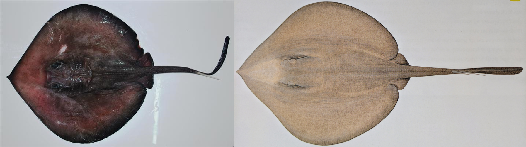 The giant stingaree.  Images:   Bineesh. K. K [CC BY 3.0 (http://creativecommons.org/licenses/by/3.0)], via Wikimedia Commons (left) & Lindsay Marshall as seen in  Rays of the World  (2016), CSIRO Publishing (right).