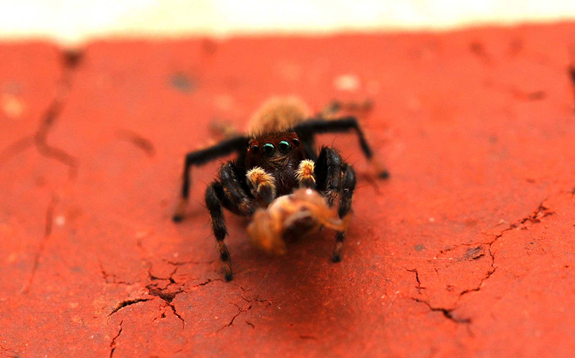 The guide dubs this guy a shaggy, red-headed house hopper. Works for me. He's pictured here with another jumping spider for a meal. Image: Chris McCormack
