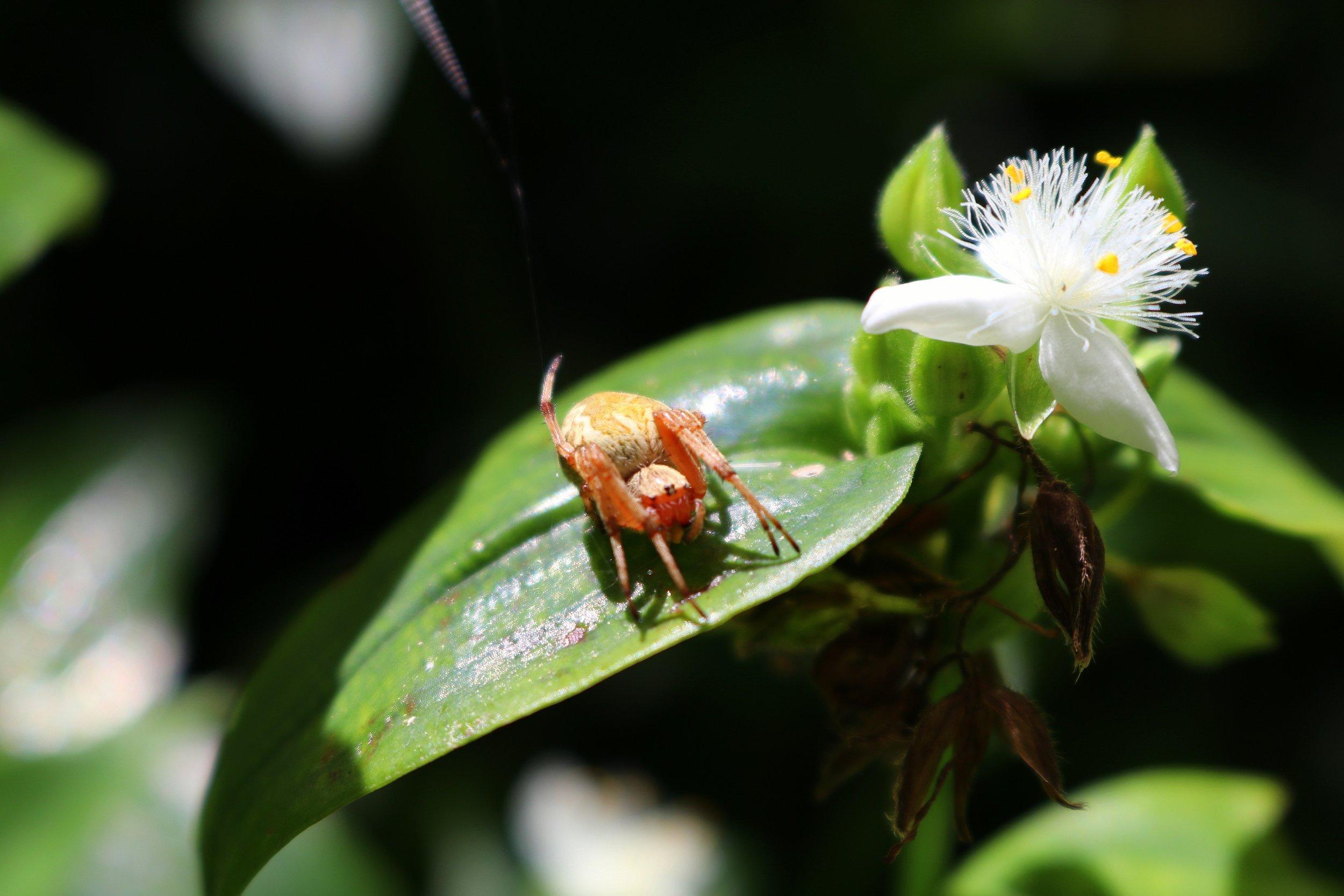 Garden Orb Weaver. Image: Leonardo Guida