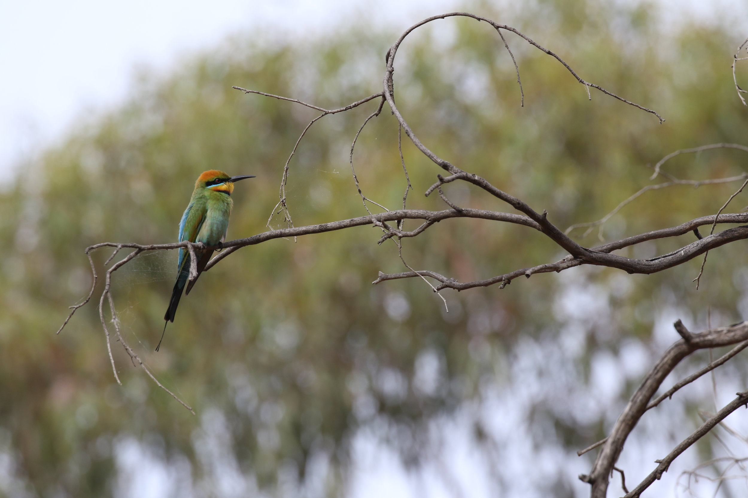 Rainbow bee-eaters are one of our more typical migrants. They spend the summer months in southern Australia, before departing to the north as the days begin to shorten at the onset of winter.