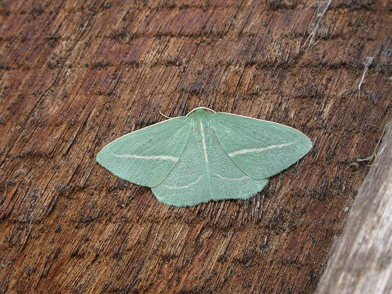 Emerald moth. Image: Wiki Commons