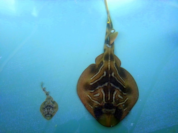 Southern fiddler ray mother and offspring in tank.Leonardo Guida
