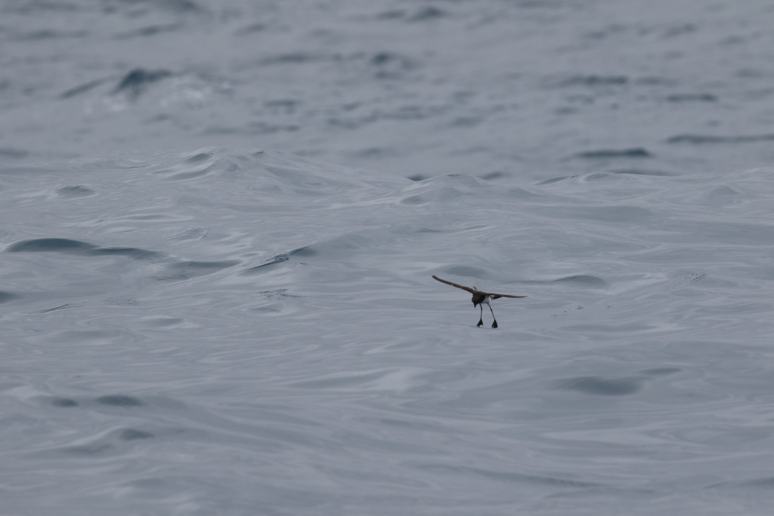 It's hard to comprehend the diminutive grey-backed storm-petrel withstanding fierce ocean storms. Yet, they are equally suited to these conditions as the colossal wandering albatross.  Image: Rowan Mott