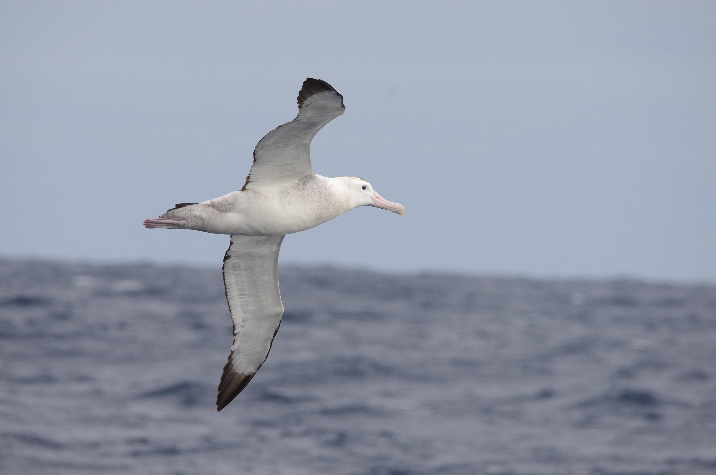 New Zealand wandering albatrosses breed across the Tasman, but their huge wingspan enables efficient flight and their wide-ranging movements make them a common sighting on Victorian pelagics.  Image: Cathy Cavallo