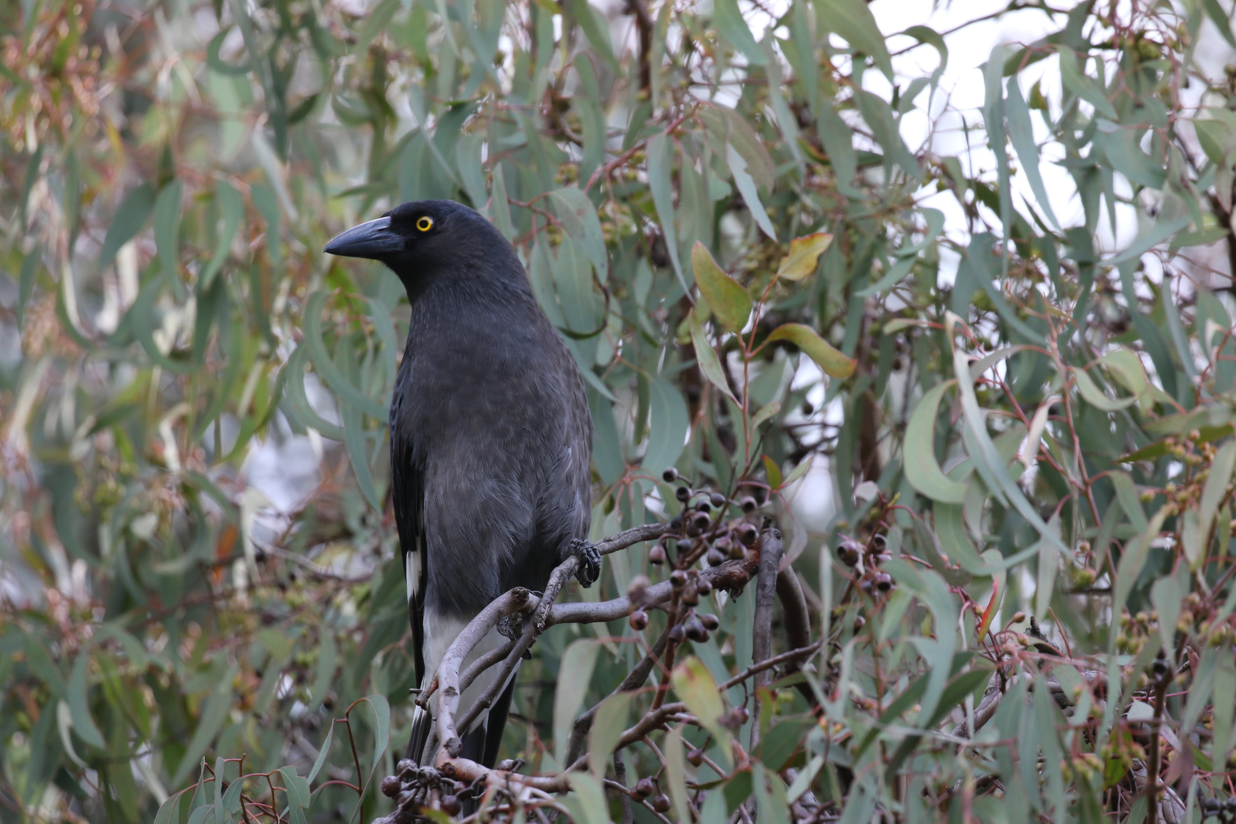 Pied currawongs are known for their piercing, vividly coloured eyes.    Image: Rowan Mott