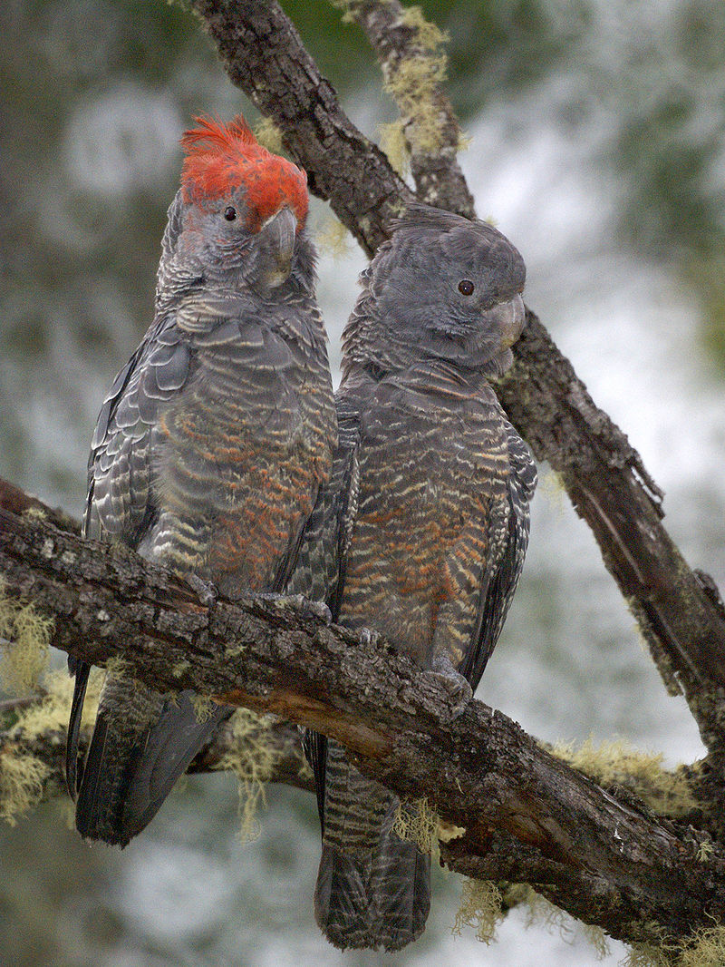 A pair of gang gang cockatoos - the male on the left sports a bright cap of red feathers.  Image:   David Cook Wildlife Photography - originally posted to Flickr as Gang-gang Cockatoos (Callocephalon fimbriatum), CC BY-SA 2.0, https://commons.wikimedia.org/w/index.php?curid=6025730