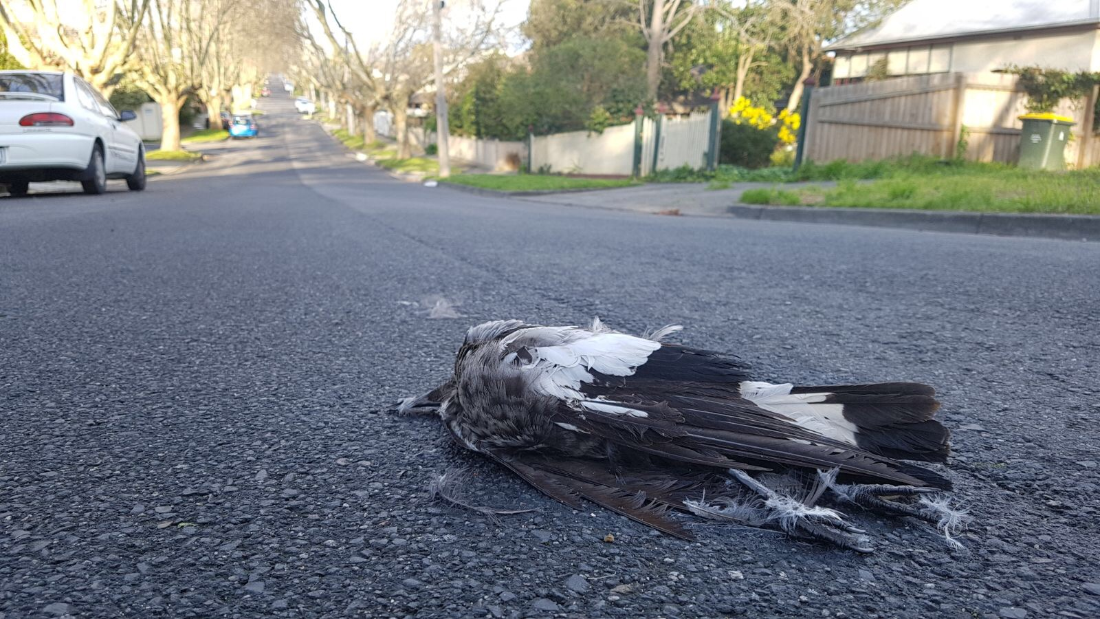 In our region, Australian magpies are the bird species most often killed by cars, but many other species also suffer high rates of mortality on our roads.  Image: Cathy Cavallo