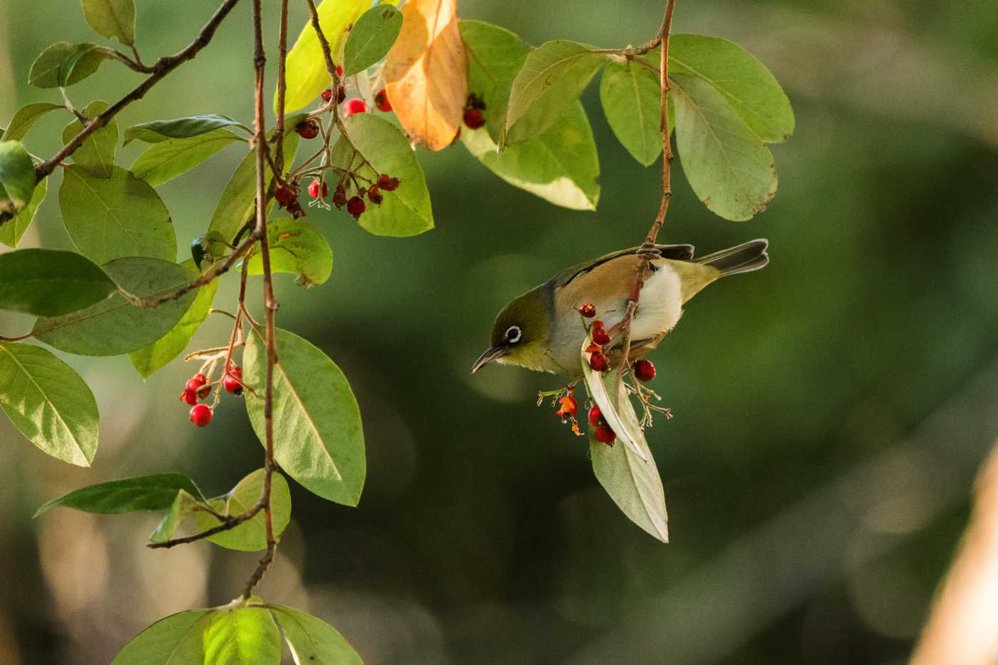 A silvereye snacking on some  Cotoneaster glaucophyllus  berries.