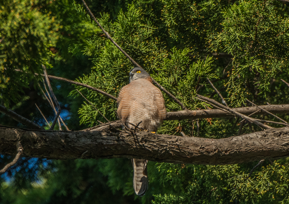 An electrifying sight anywhere, but particularly in the city; this collared sparrowhawk is one of a pair which have found the gardens of Rippon Lea Estate to be a rewarding hunting ground.