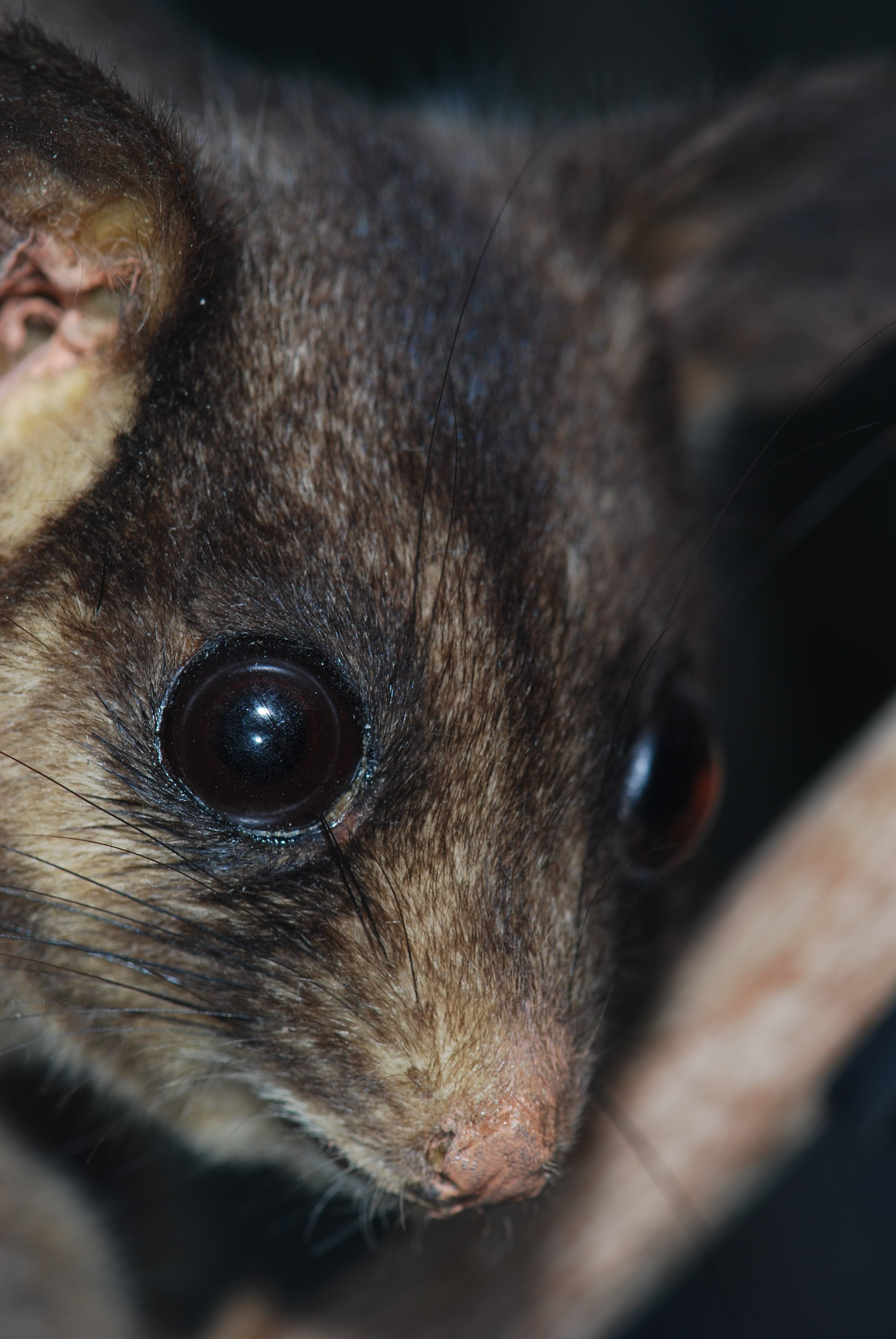 Leadbeater's possum ( Gymnobelideus leadbeateri ).  Image: CC BY-SA 3.0, https://commons.wikimedia.org/w/index.php?curid=2264884