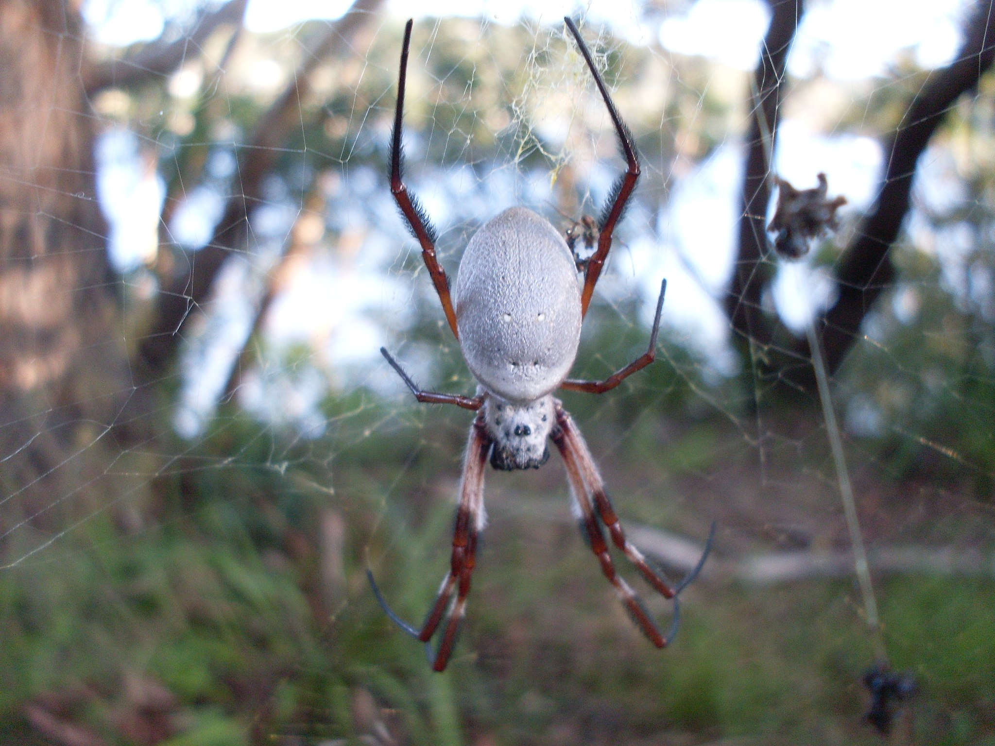 The golden orb weaver,  Nephila edulis .  Image: John Tann, Wikimedia Commons