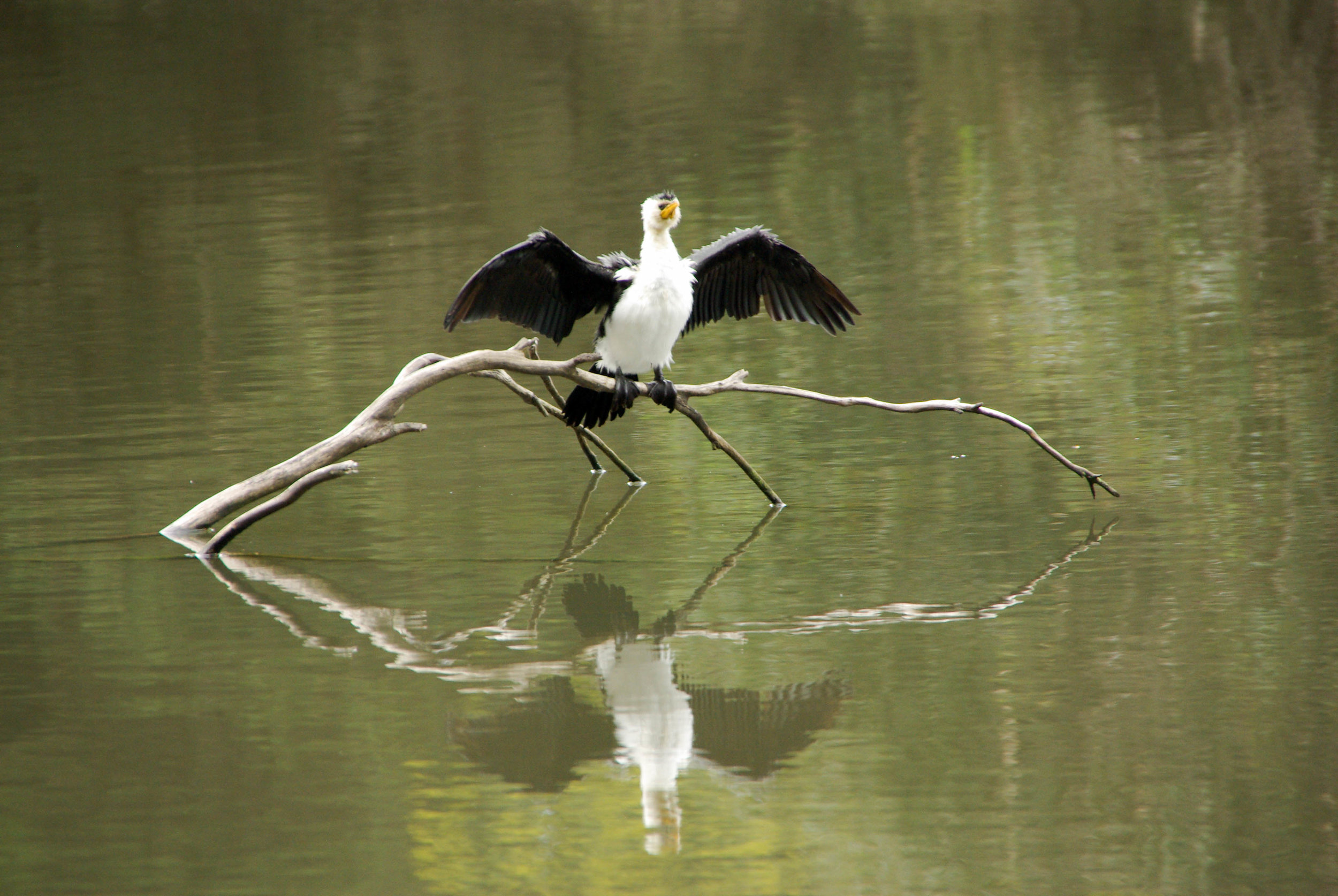 A Little Pied Cormorant dries its wings above the Main Lake.  Image:   Jacinta Humphrey