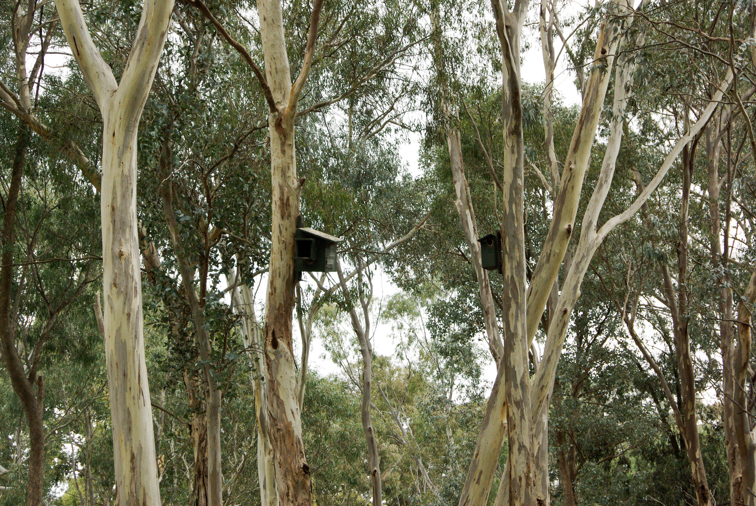 Nesting boxes provide additional habitat for hollow-dependent species including parrots, possums and gliders.  Image:   Jacinta Humphrey