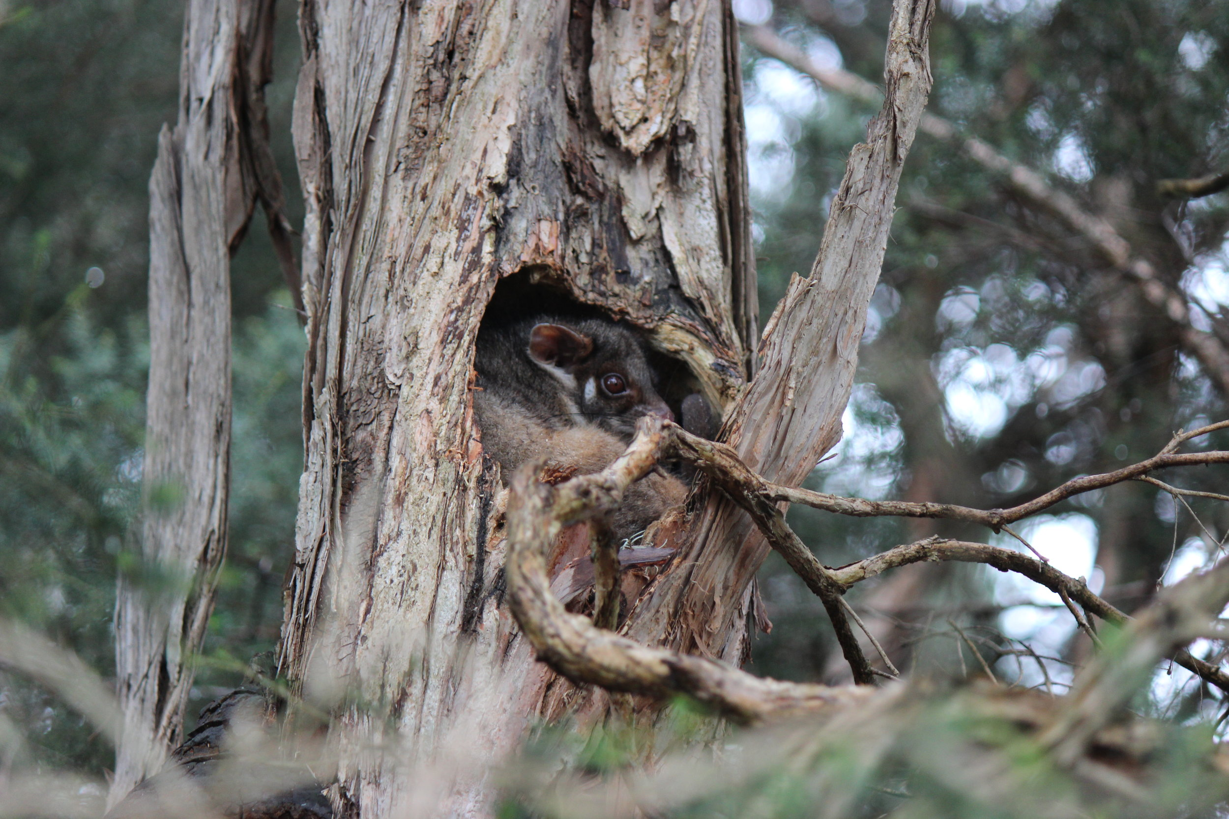 A ringtail possum curls up in a tree hollow. Image:   Andrew Stocker (La Trobe Wildlife Sanctuary)
