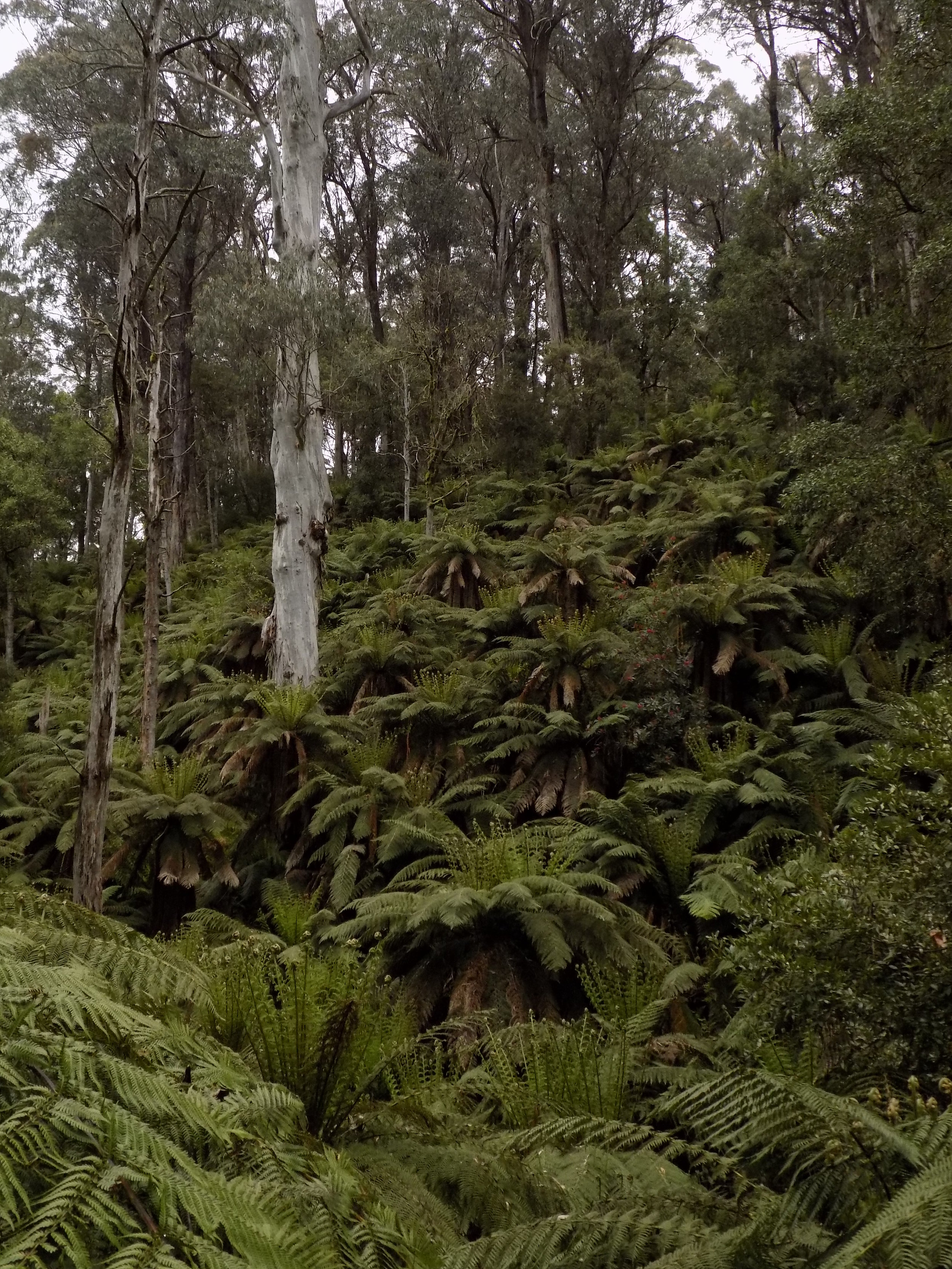 Dicksonia antarctica  hillside.