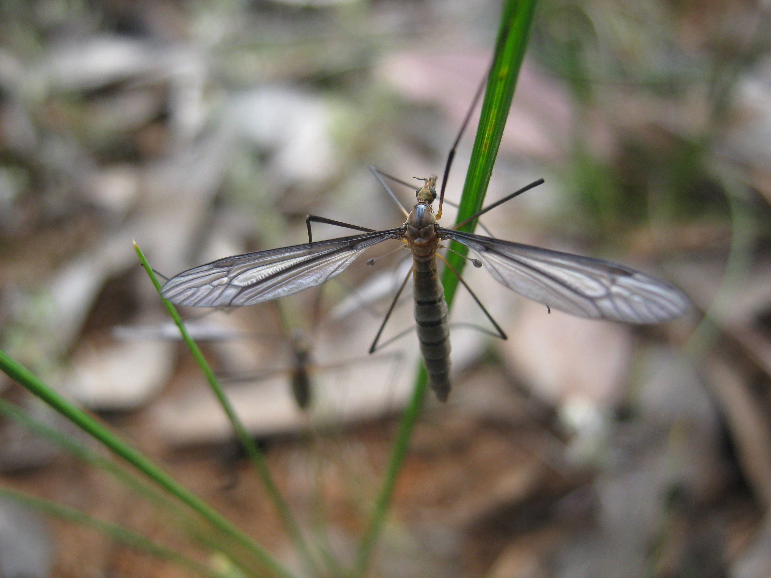 A crane fly. Image: Wendy Cook