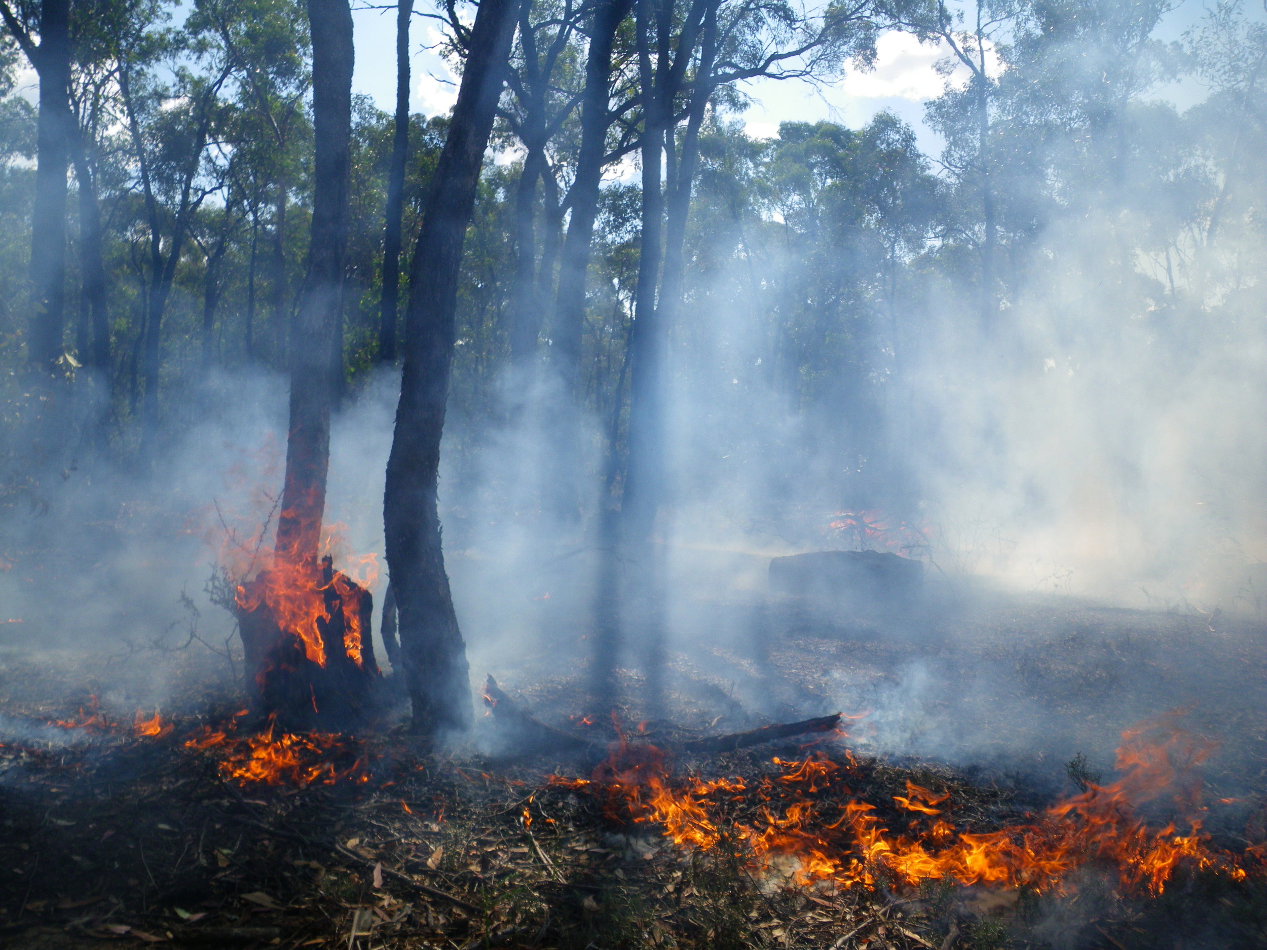 Fire can more easily burn a dead and decaying stump than a live, bark-covered tree. Trees that have resprouted from the base of a cut stump are often more susceptible to fire than free-standing trees because they are readily burnt out at the base. Image: Rowan Mott