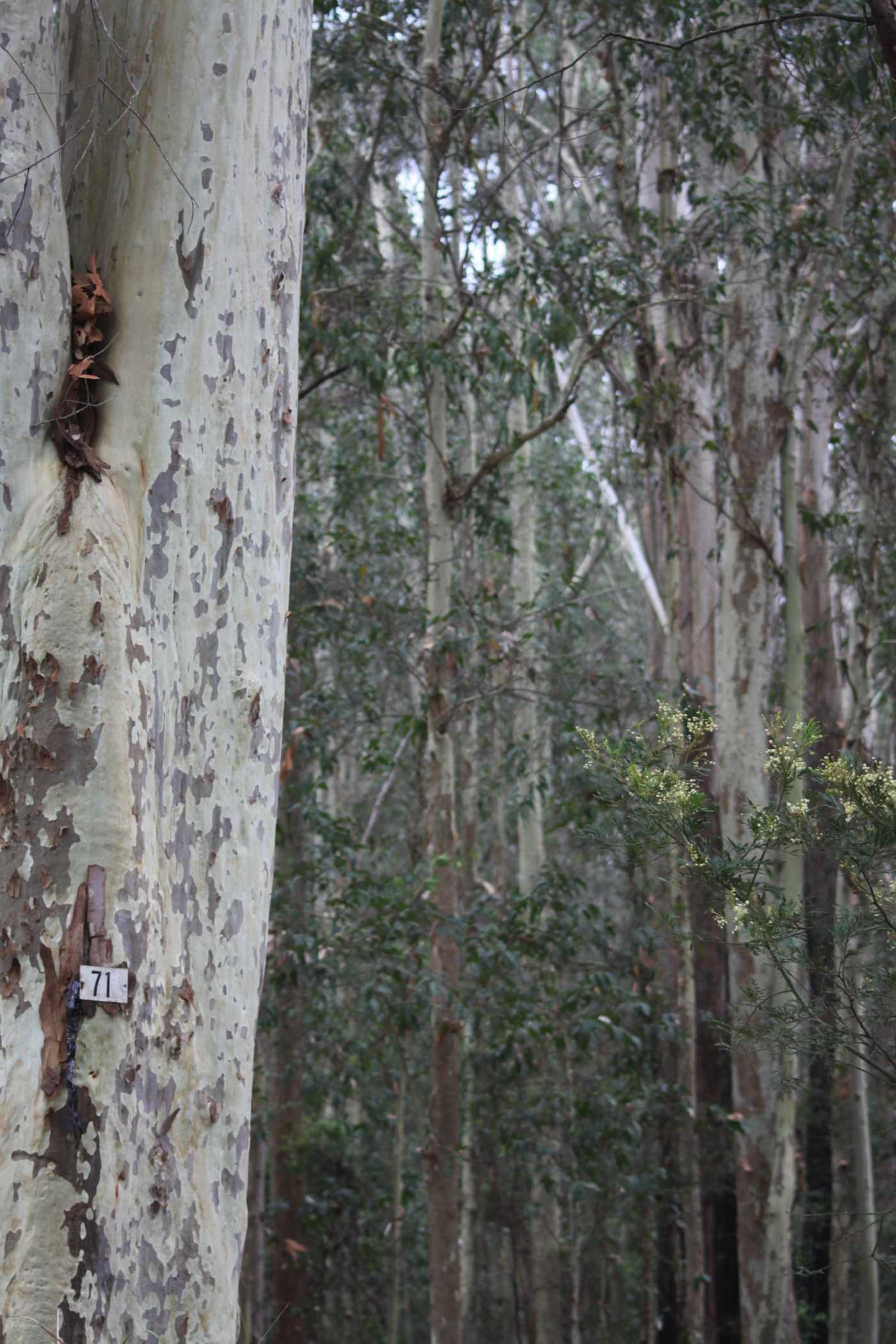 Spotted Gum at Anna's childhood home.  Image: Anna Senior