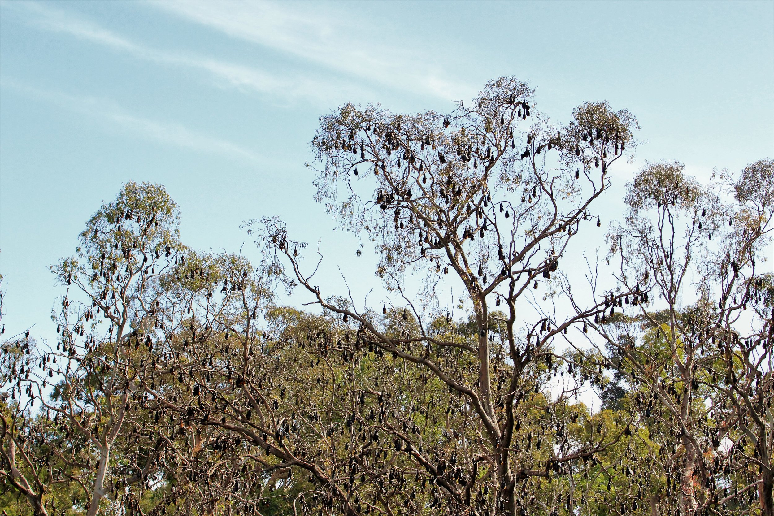 17-12-2017 Fairfield - flying foxes on the Yarra from the kayak 10.JPG