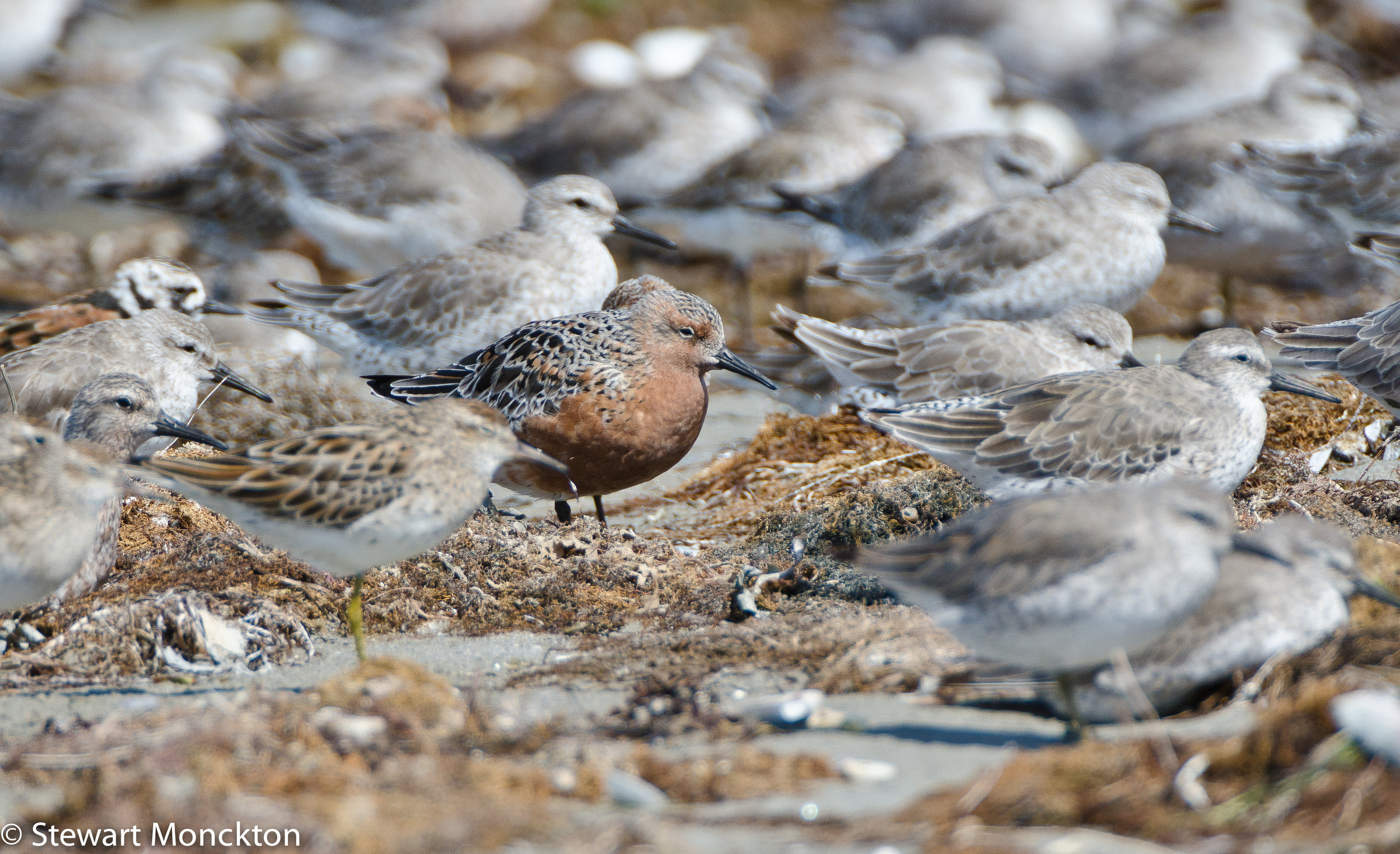 Red Knot (central), Sharptailed Sandpiper (out of focus ginger cap, green legs in the foreground), and Ruddy Turnstone.  Image: Stewart Monckton