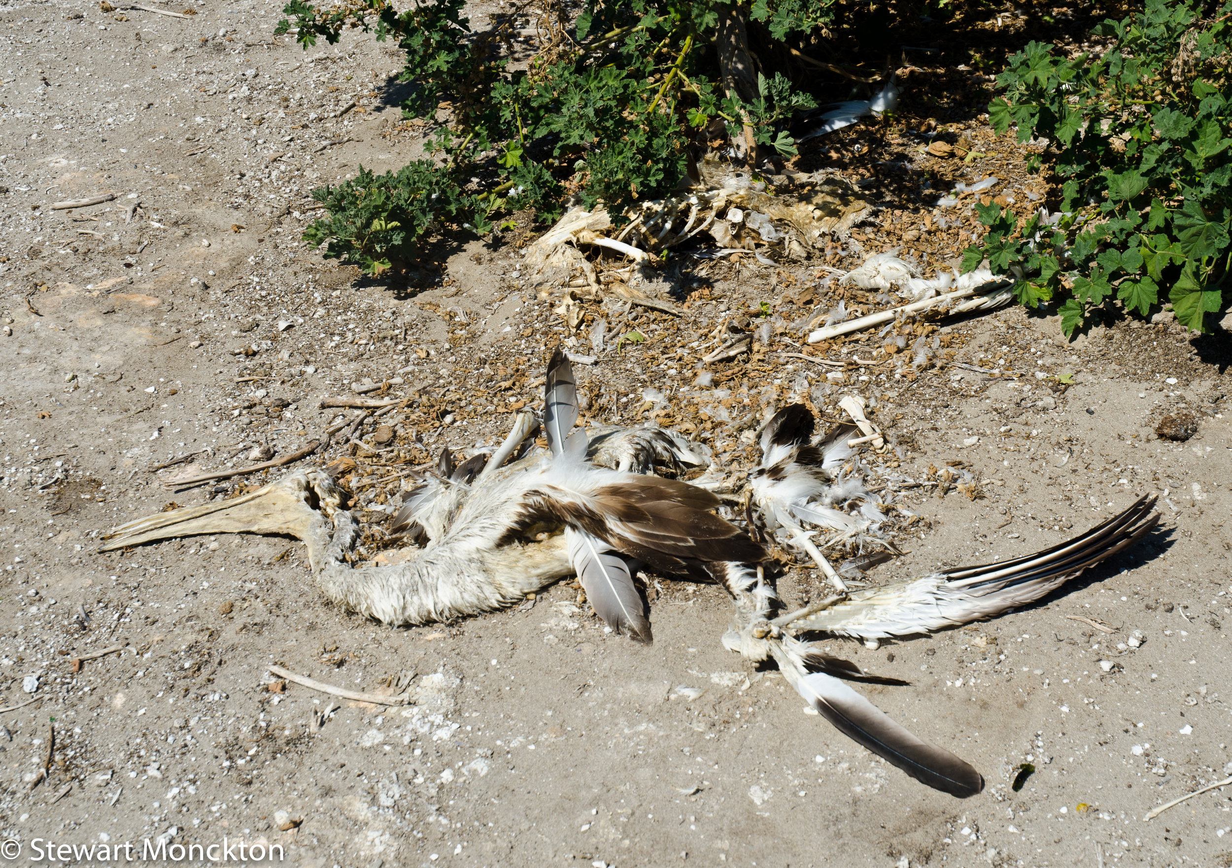 The remains of a dead pelican on Mud Islands.  Image: Stewart Monckton