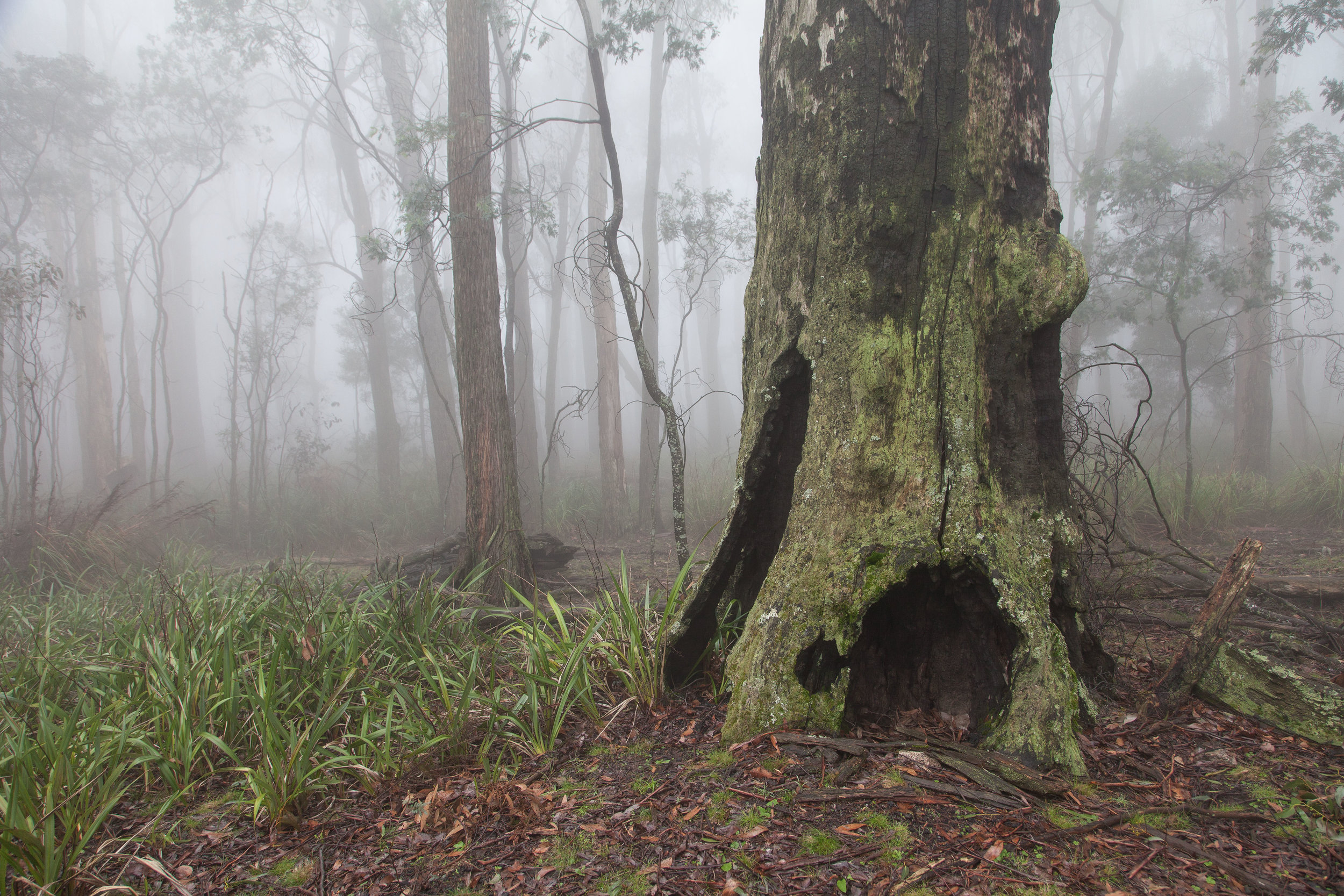Immense eucalypts, Powerful Owls and Greater Gliders are just some of the impressive organisms to be found in this ancient forest.  Image: Michael Flett
