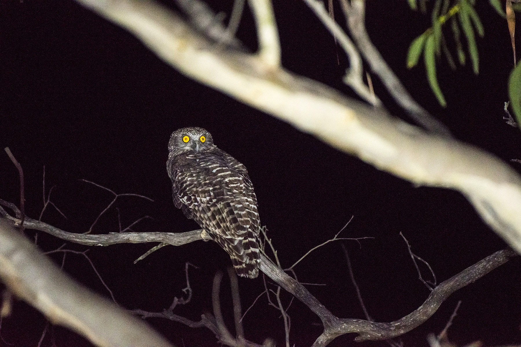 The Powerful Owl is Australia's largest owl.  Image: David Whelan