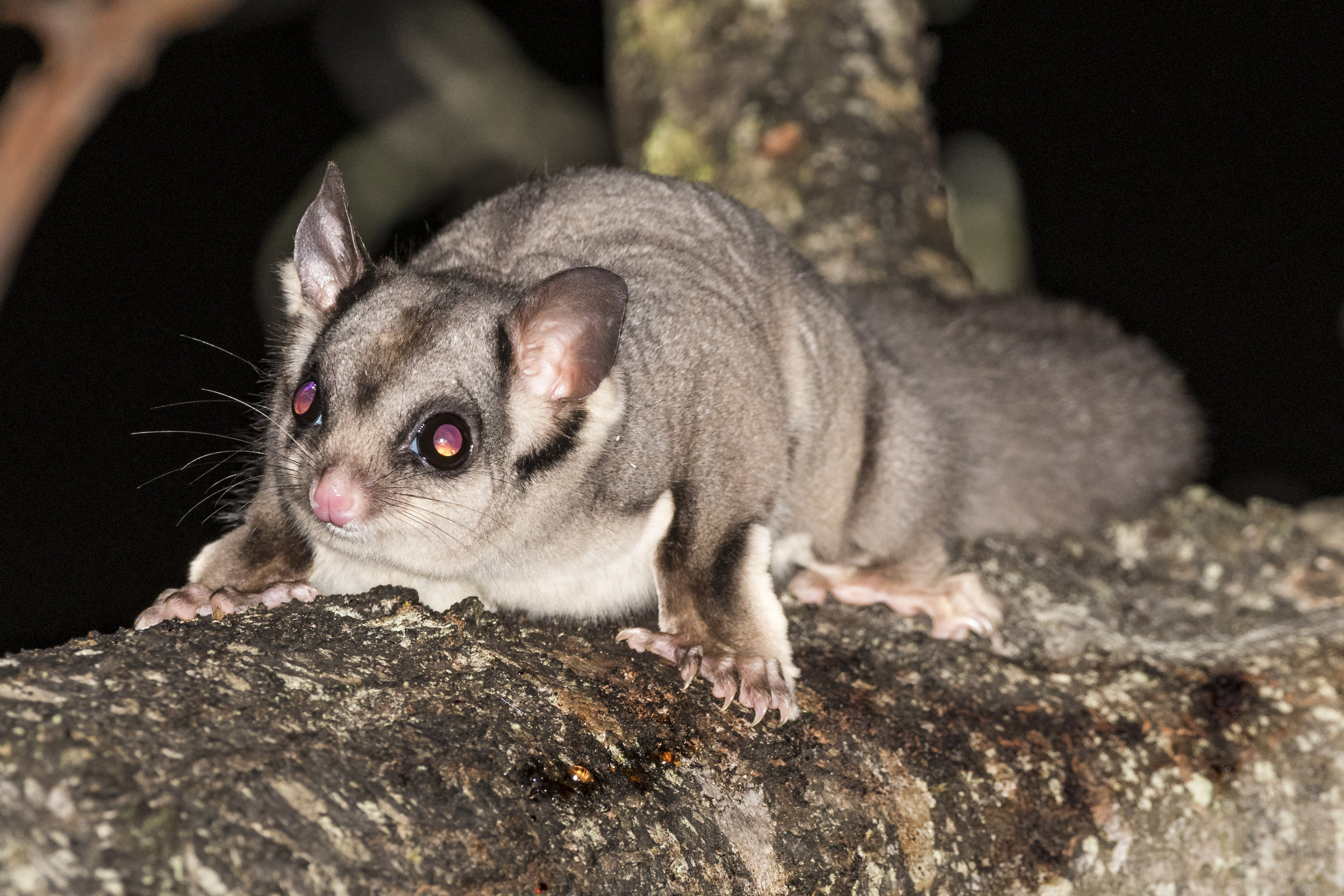If you're lucky, the distinctive face of a Sugar Glider may greet you on a night walk.  Image: David Whelan