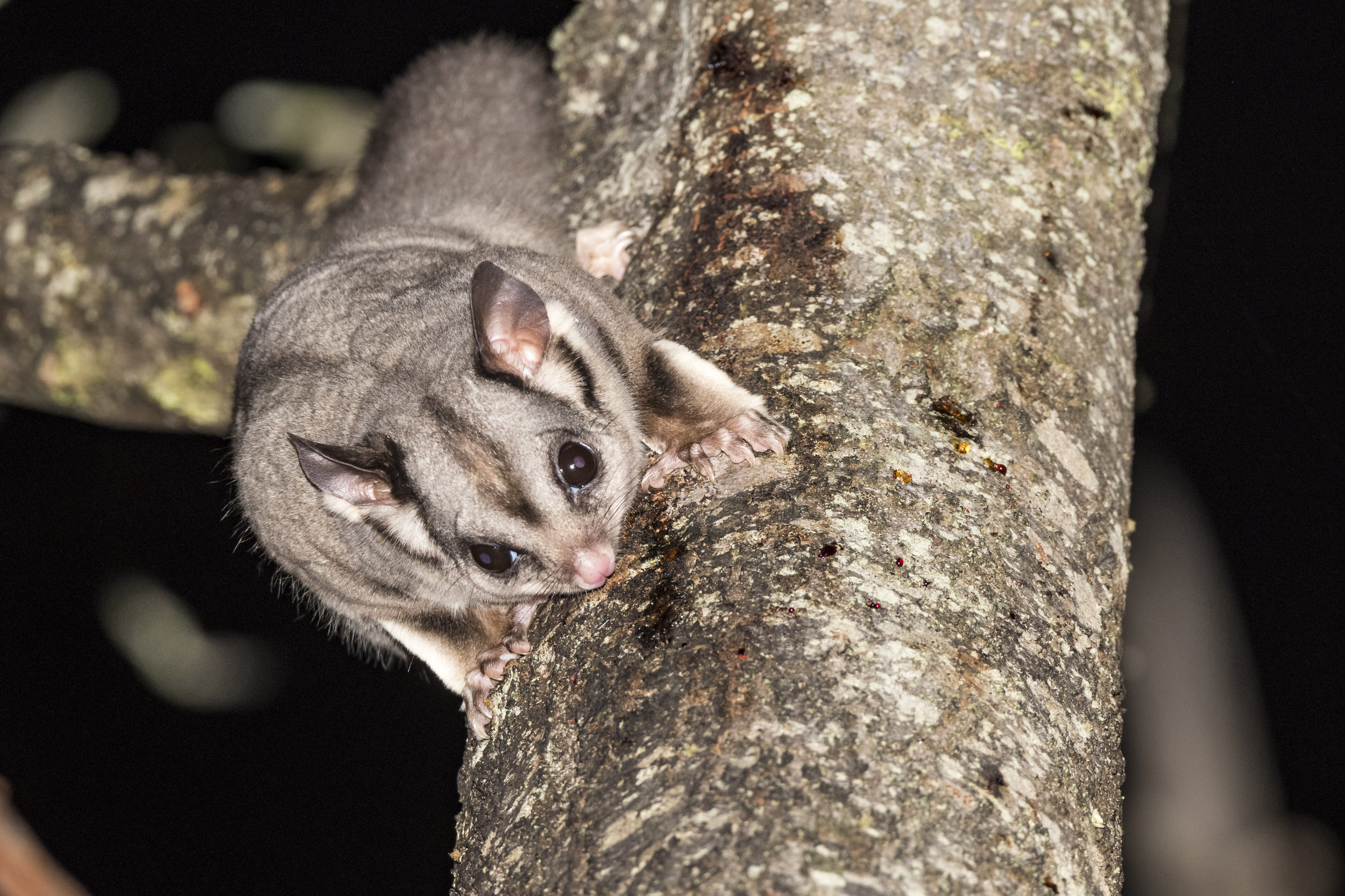 Sugar Gliders use their sharp incisors to cut through tree bark so that they can reach the sugary sap underneath.  Image: David Whelan