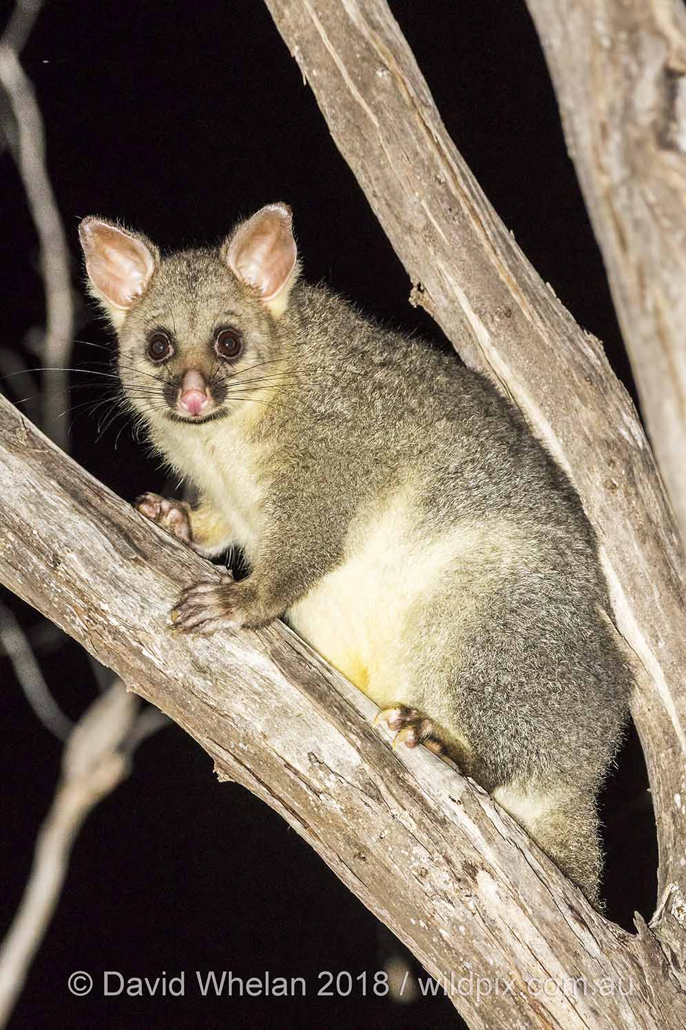 The Common Brushtail Possum is, unsurprisingly, a common sight when spotlighting in Victoria.  Image: David Whelan