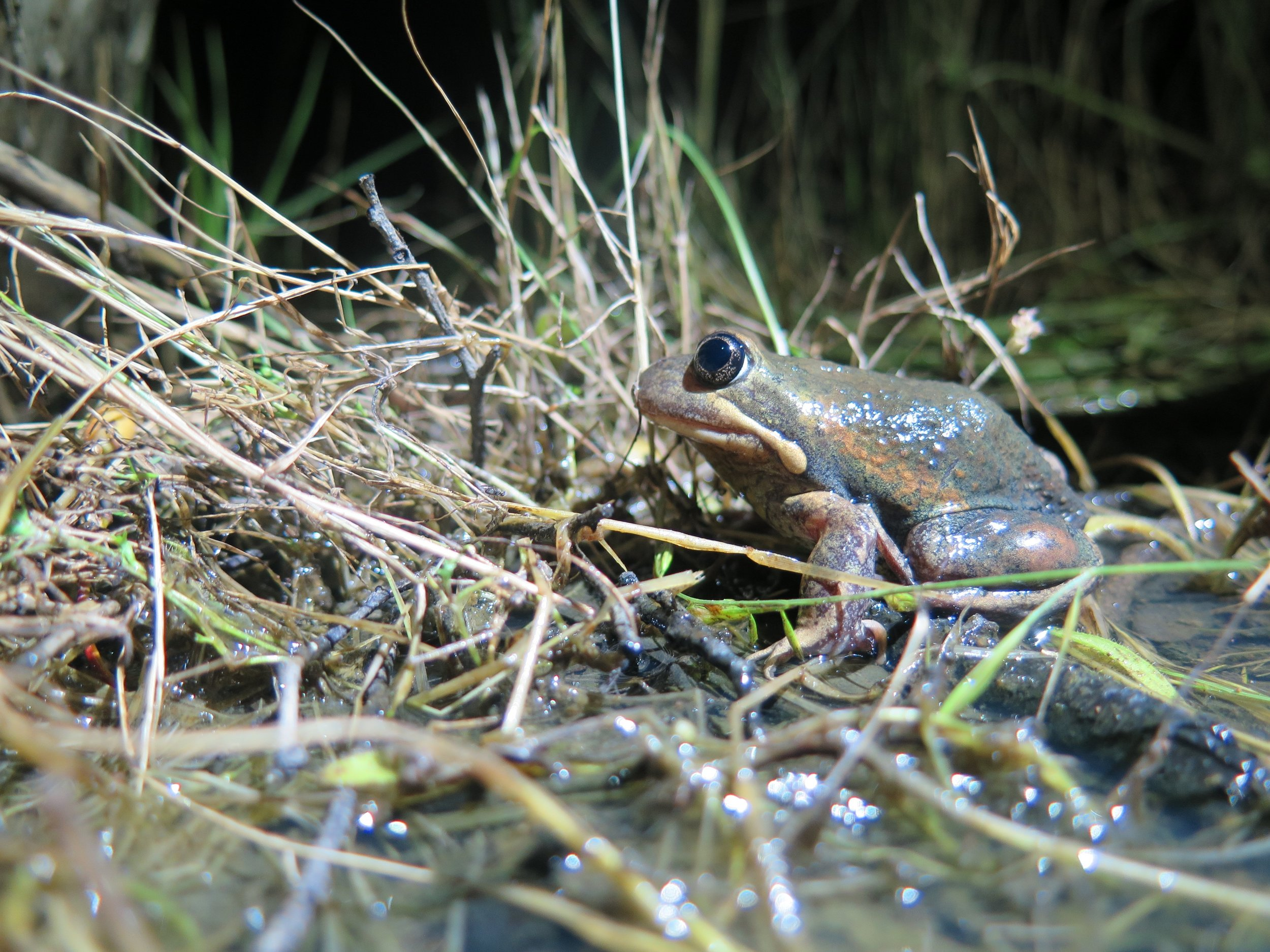 The Eastern Banjo Frog can migrate up to one kilometre to their breeding sites.  Image: Cathy Cavallo