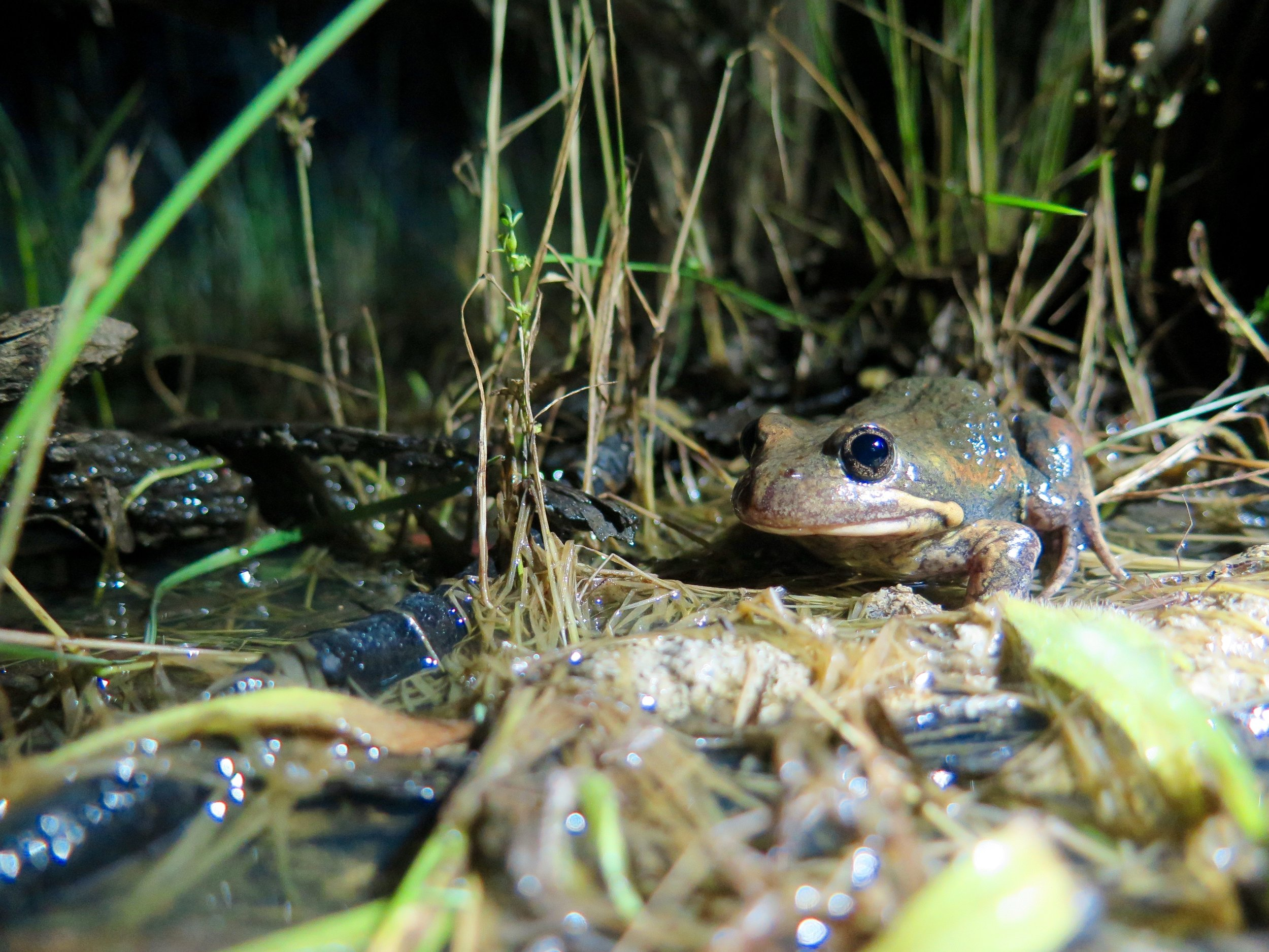 The Eastern Banjo Frog is also known as the Pobblebonk and can call all year round.  Image: Cathy Cavallo