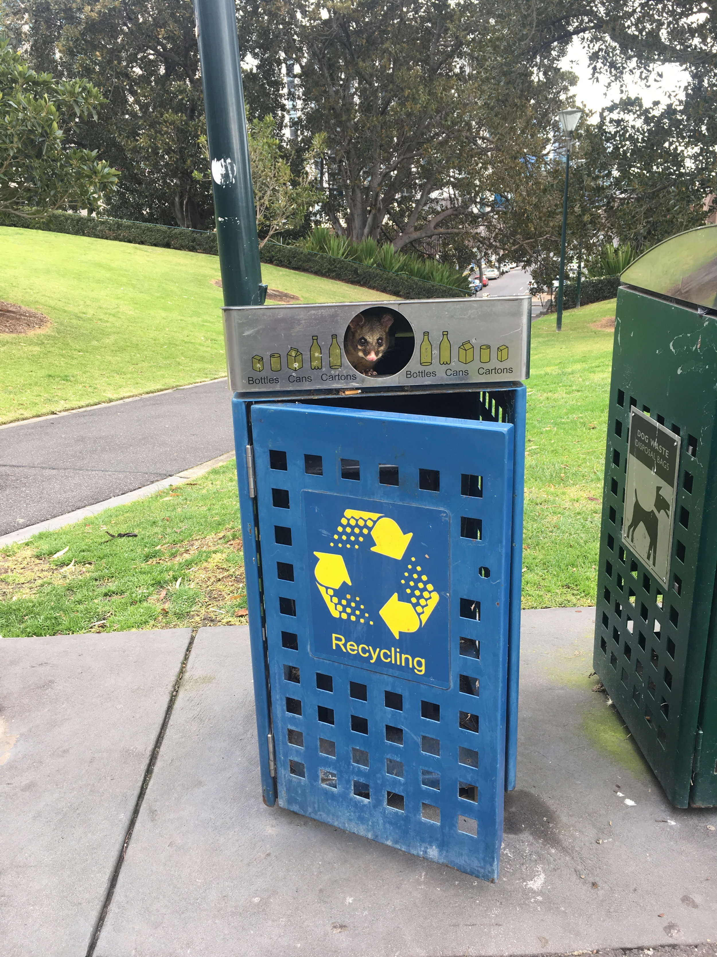 A Common Brushtail Possum peeks out of a recycling bin in Flagstaff Gardens. Image:Donna Lo Bartolo Shiel