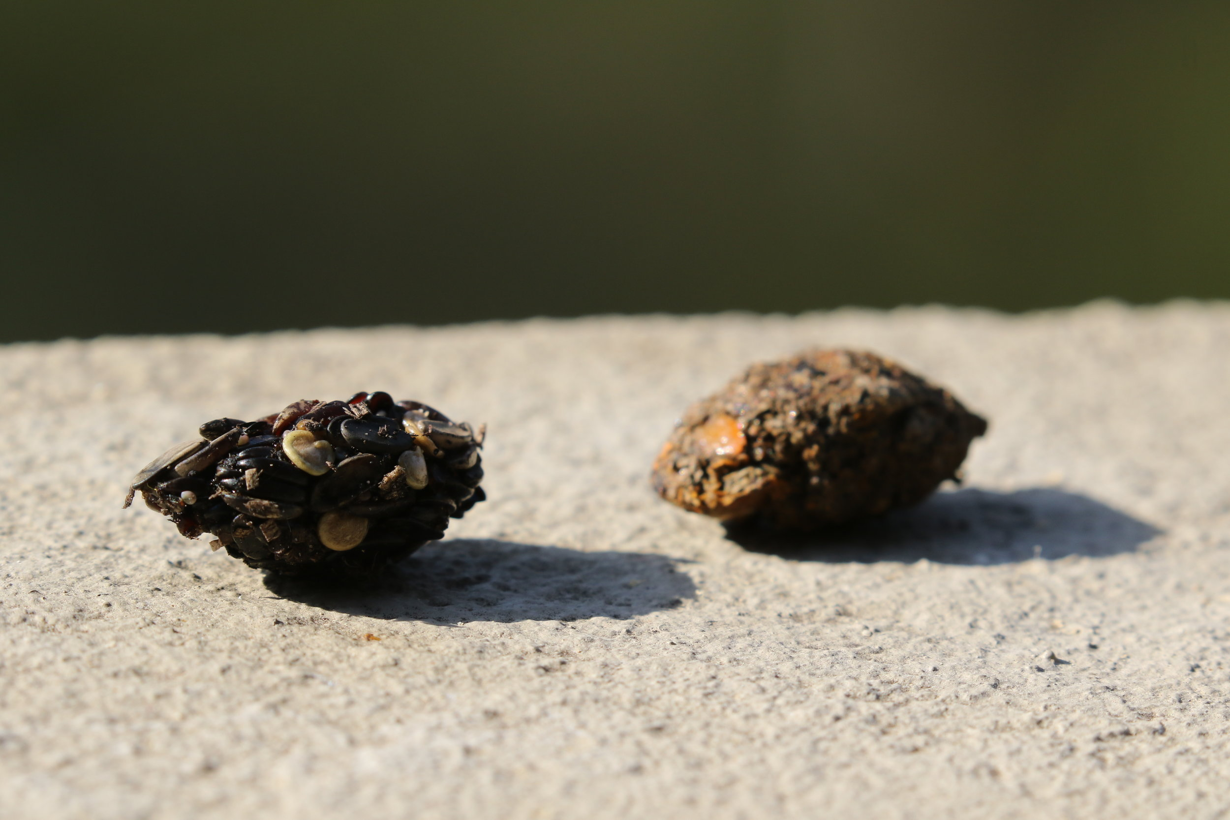 These two pellets regurgitated by Pied Currawongs on my balcony show that the diet of this species comprises far more than simply nestling birds. The one on the left is full of seeds and the one on the right contained something I couldn't recognise.  Image: Rowan Mott