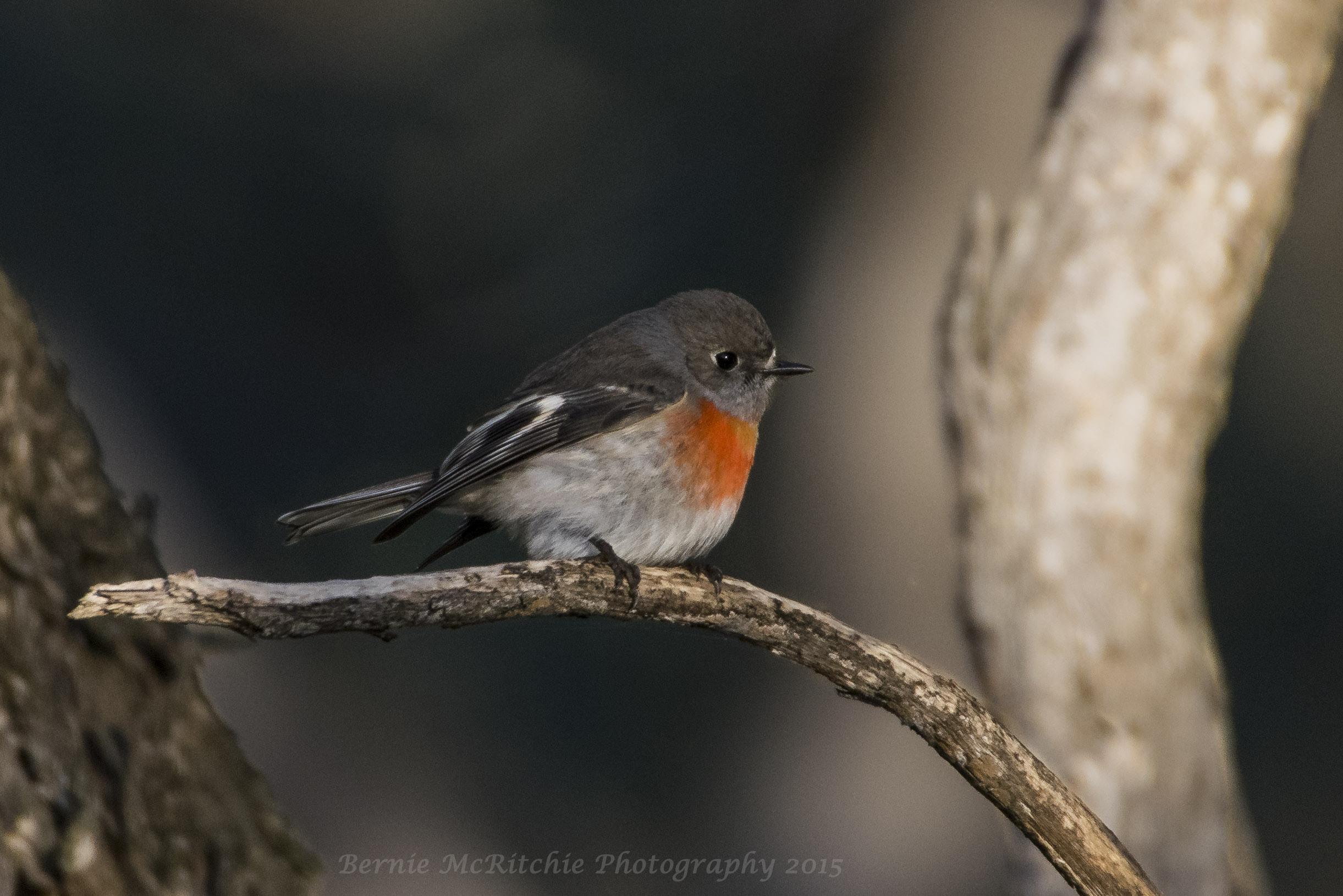 A female Scarlet Robin.  Image: Bernie McRitchie