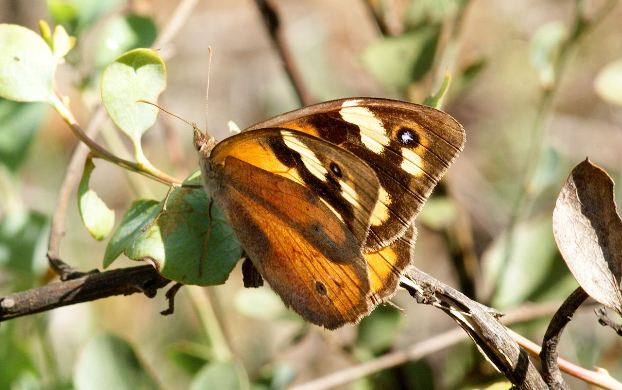 The Common Brown.  Image: Ian Sutton [CC BY 2.0  (https://creativecommons.org/licenses/by/2.0)], via Wikimedia Commons.