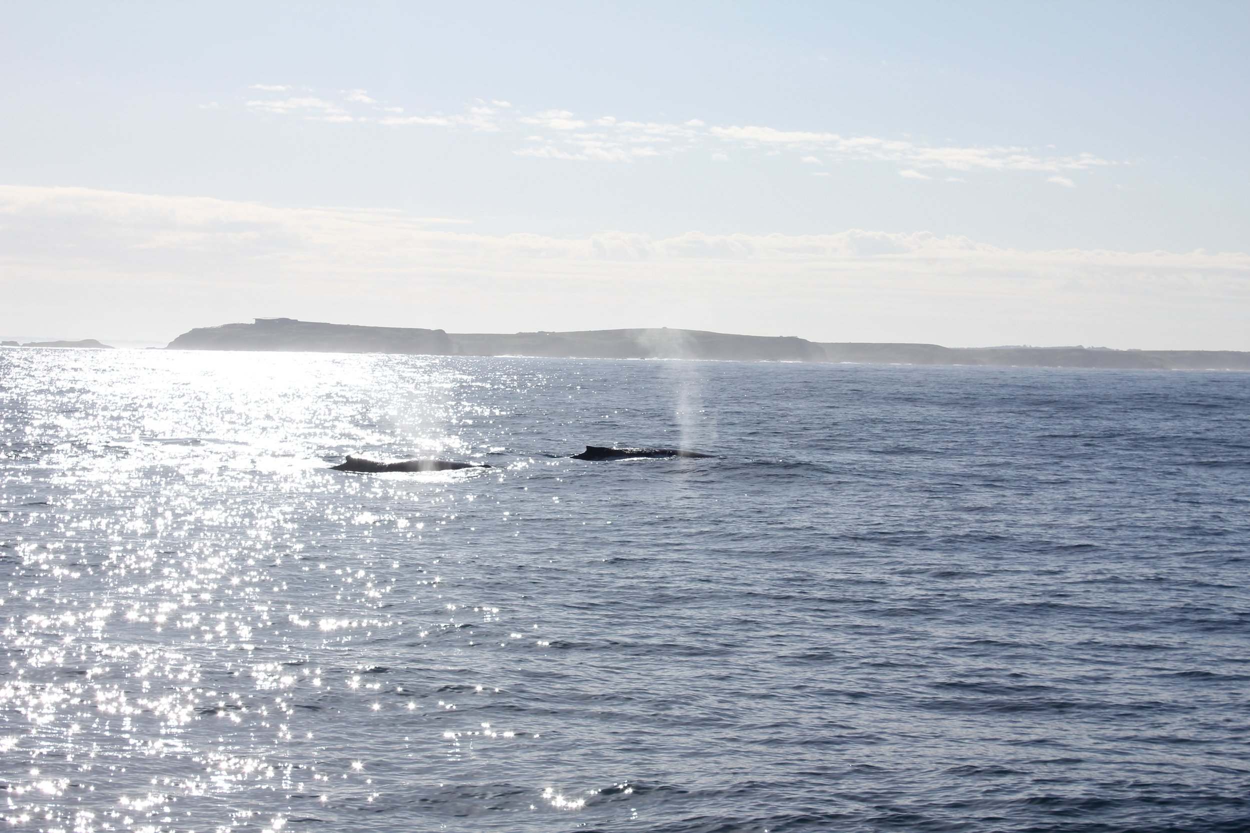 Humpback Whales seen from a distance.  Image: Ella Loeffler