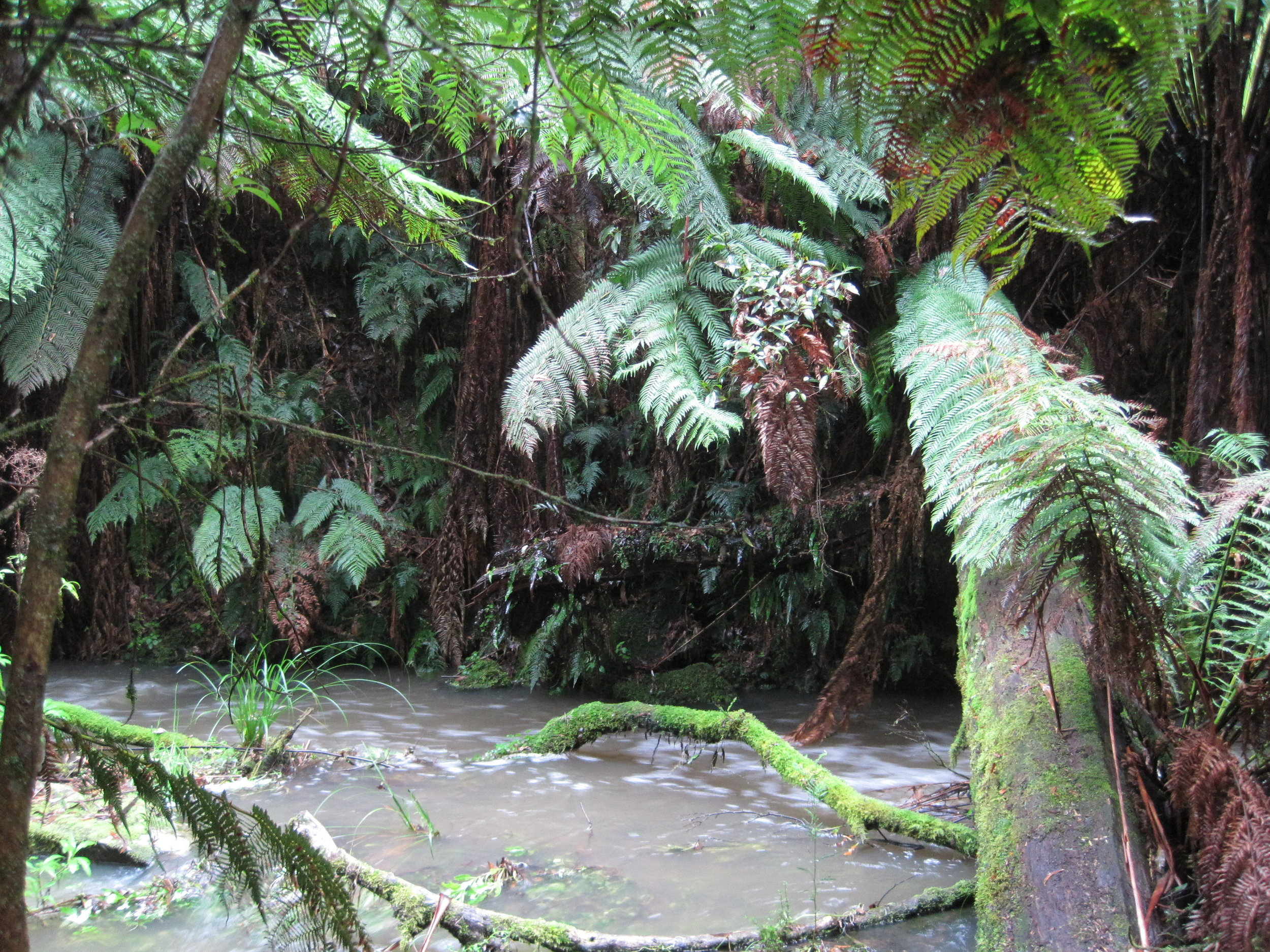 After heavy rainfall, Grey River rushes rapidly under fallen branches and tree fern fronds.  Image: Wendy Cook